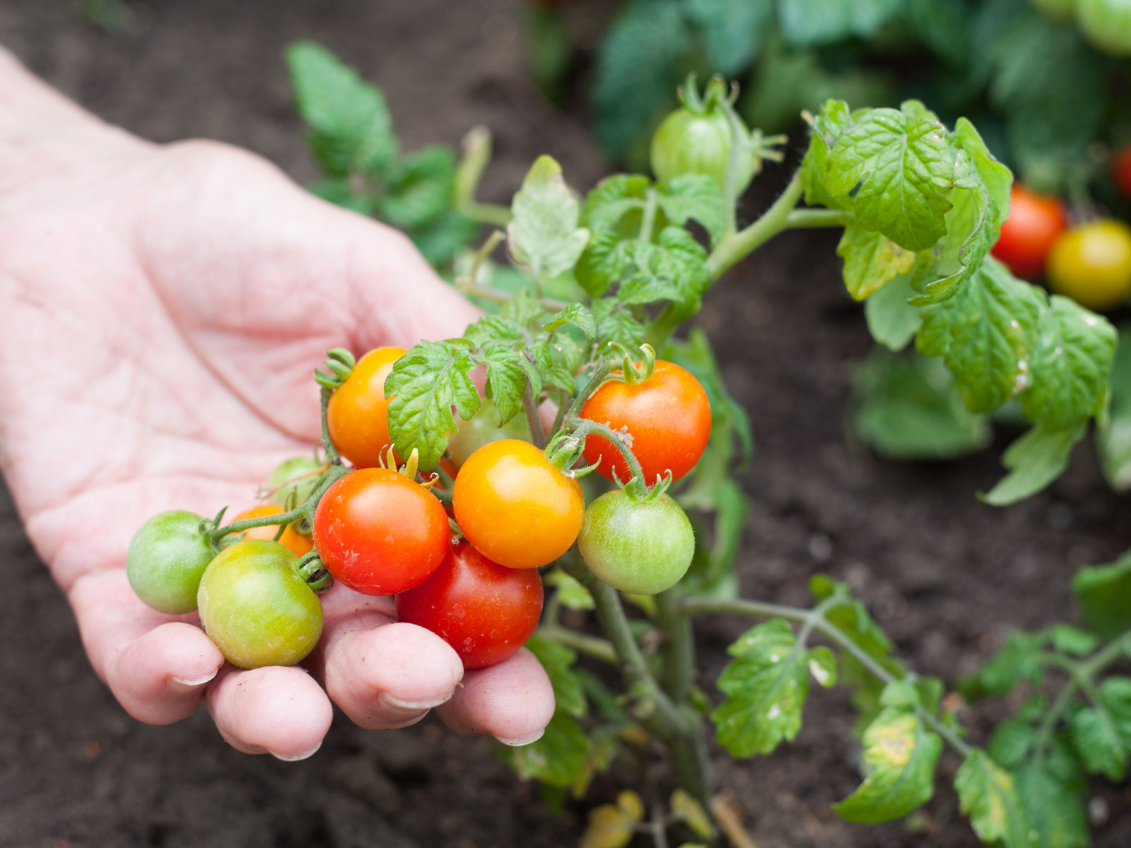 tomatoes in a vegetable garden