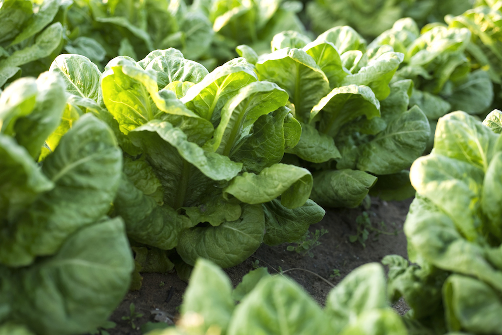 vegetable-garden-lettuce-blog0219.jpg