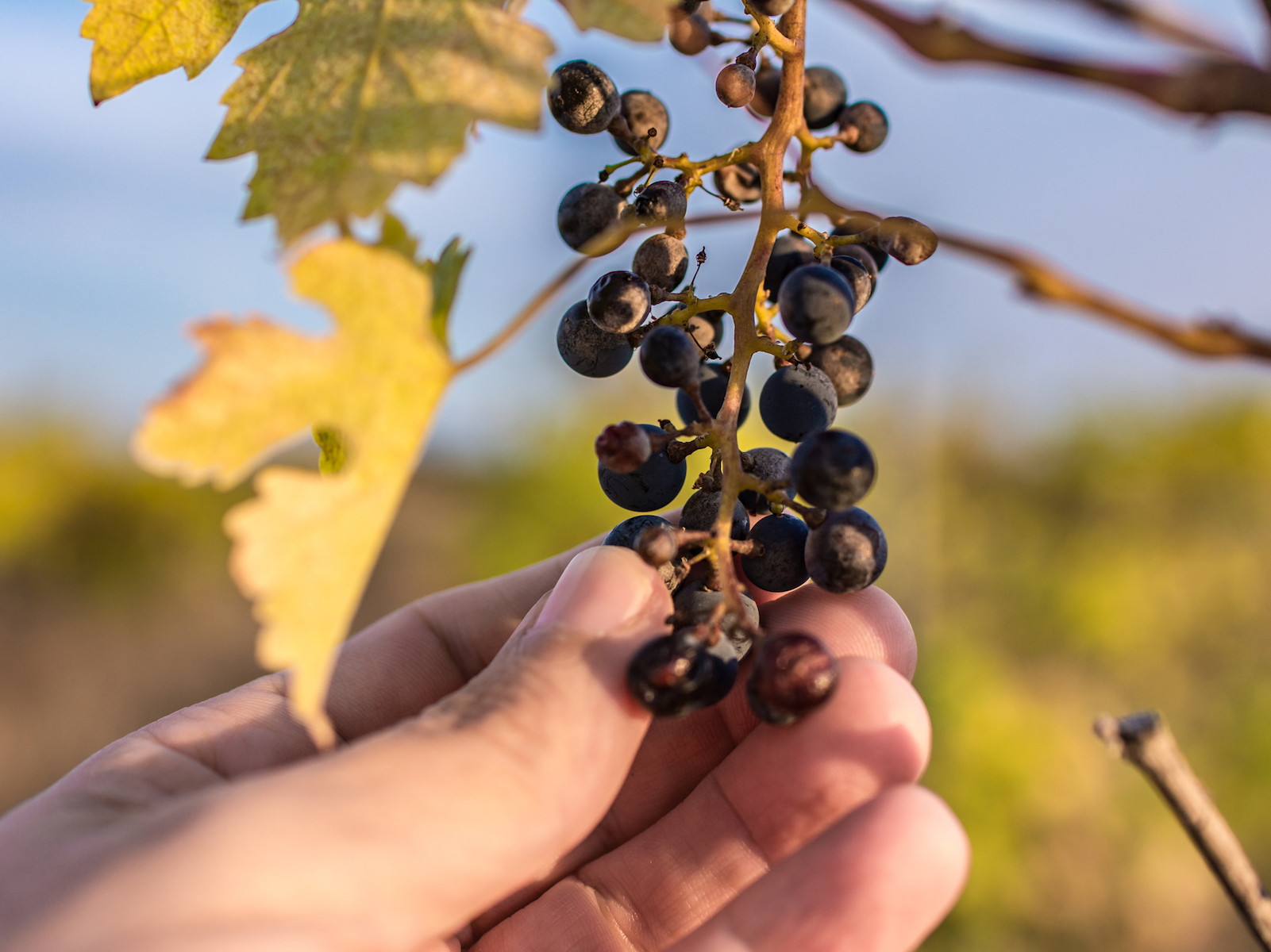 wineries-climate-change-FT-BLOG0319.jpg