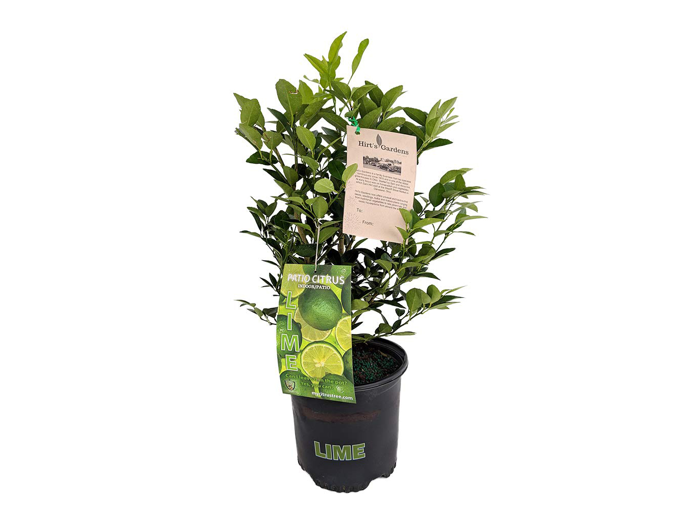 Hirt's Key Lime Tree