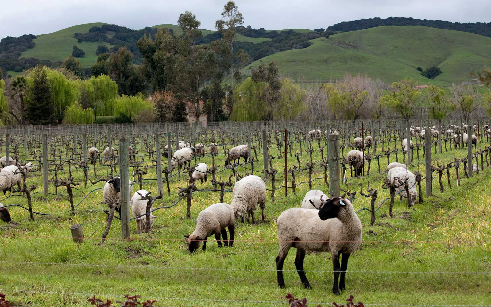 Sheep grazing for weeds in in Cline vineyard.