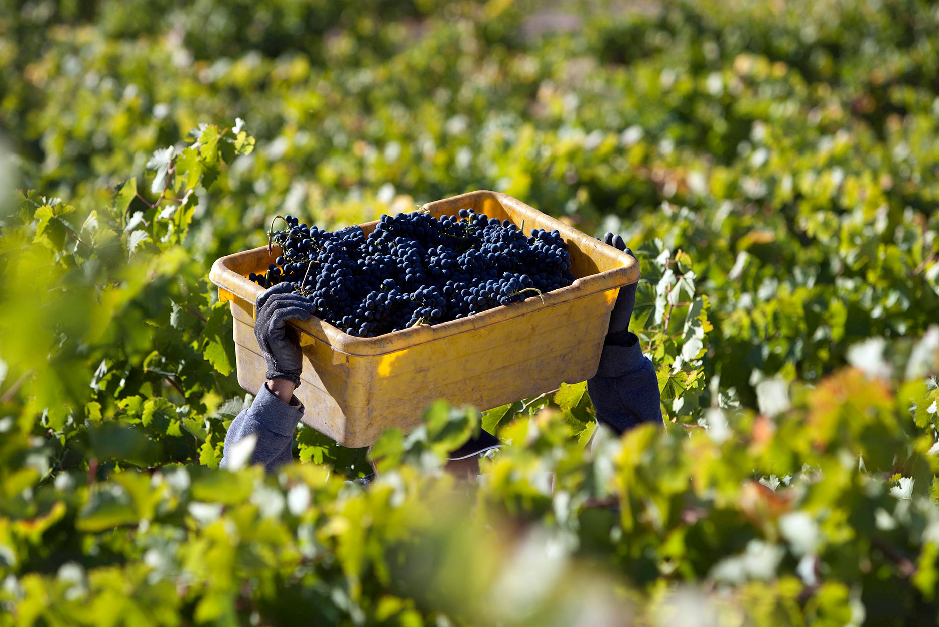 Mourvedre grapes being harvested