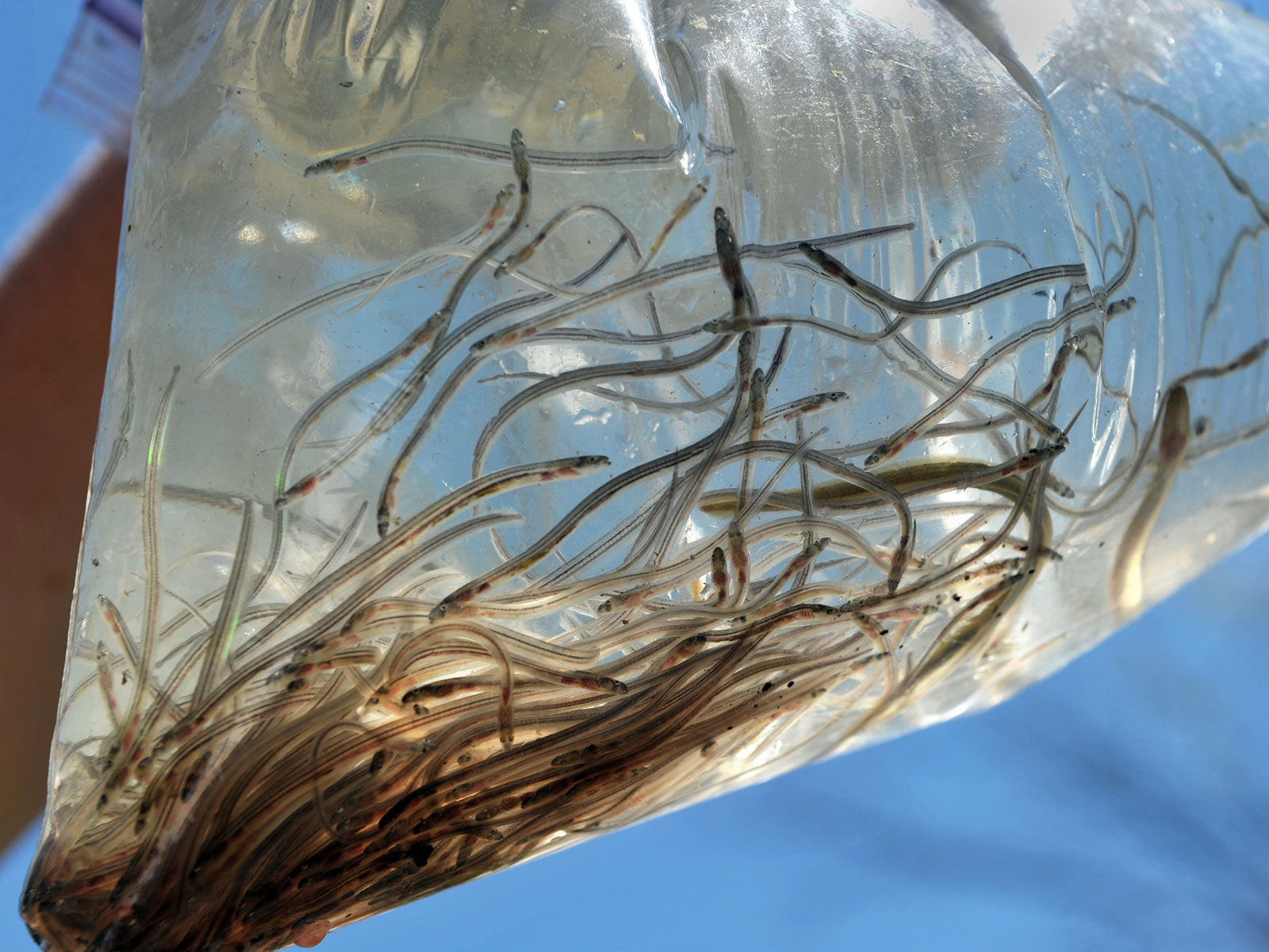 glass-eels-maine-lottery-FT-BLOG0120.jpg