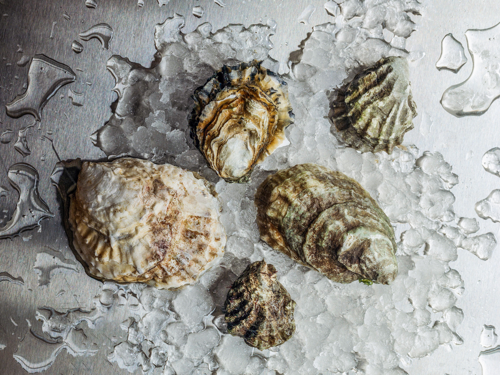 Oyster Guide Five Oyster Species