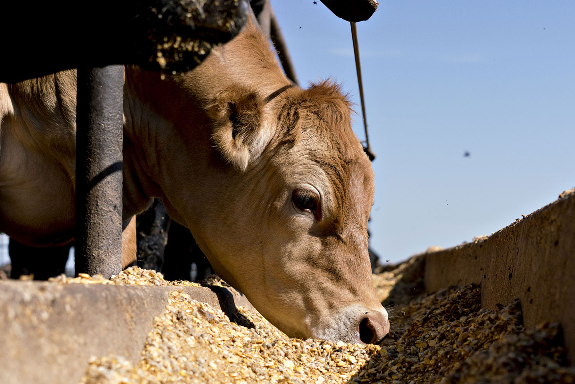 A cow eating grain from a trough