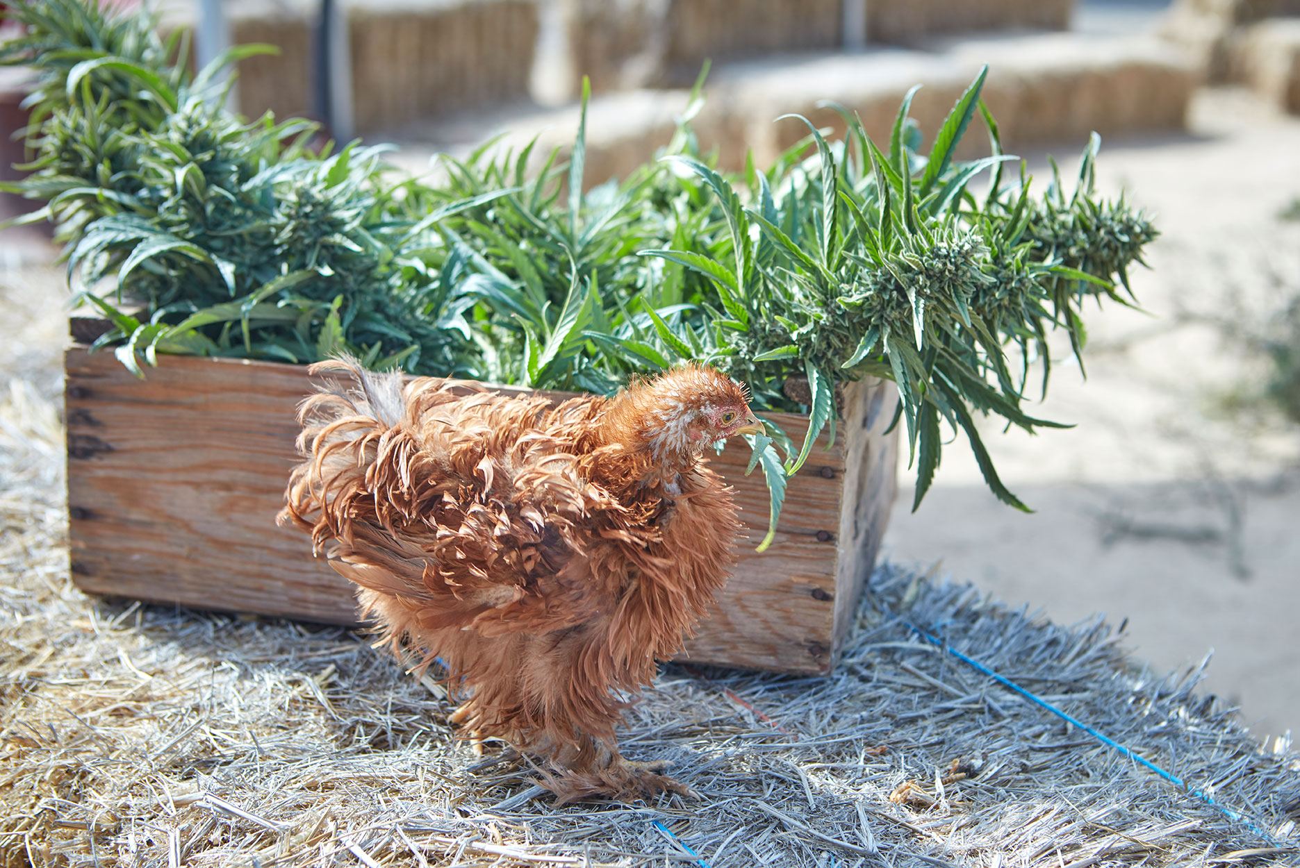a chicken stands next to harvested cannabis plants