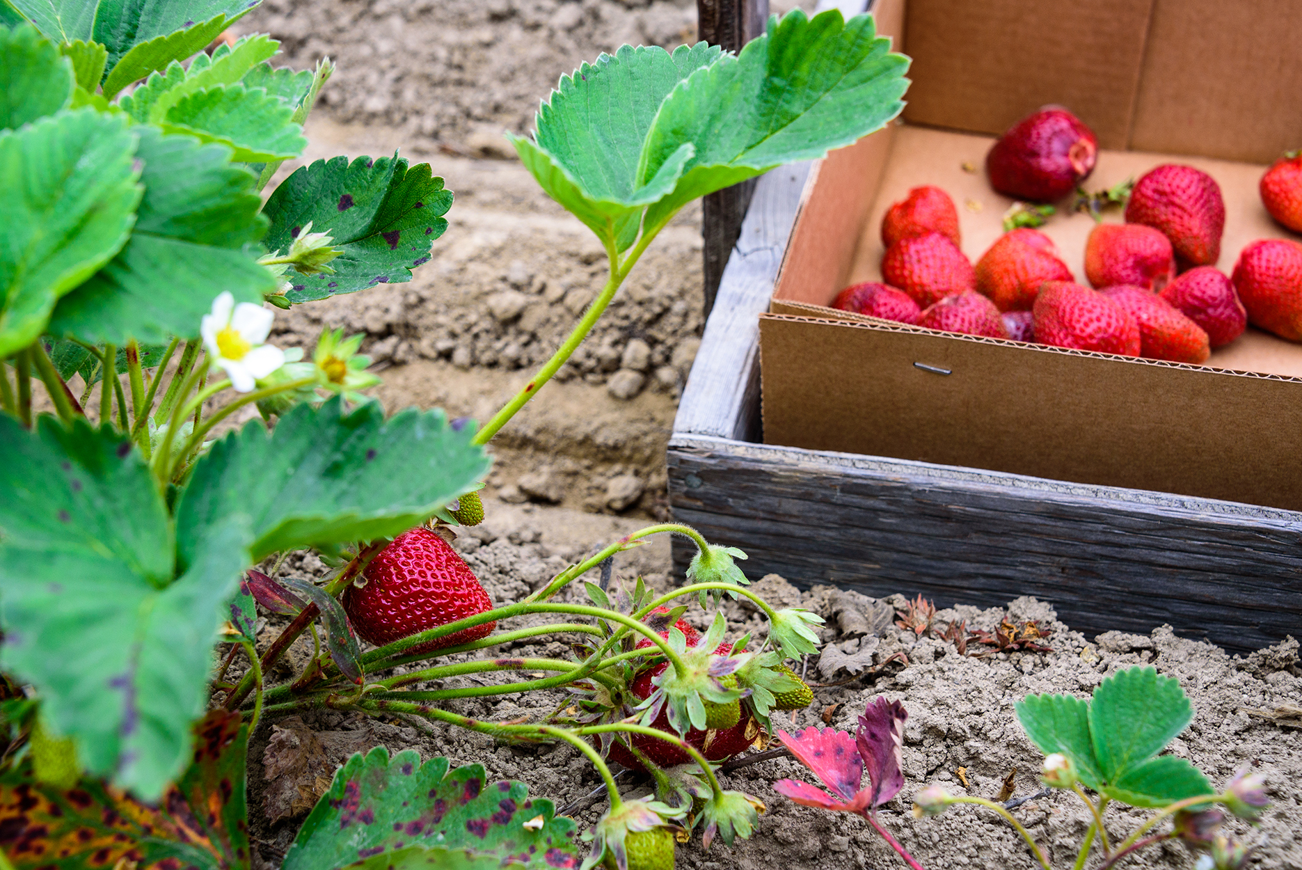 Close up of a strawberry plant in a farm field with luscious red berries ready for harvest, includes a cardboard box in a wood basket to pick berries into