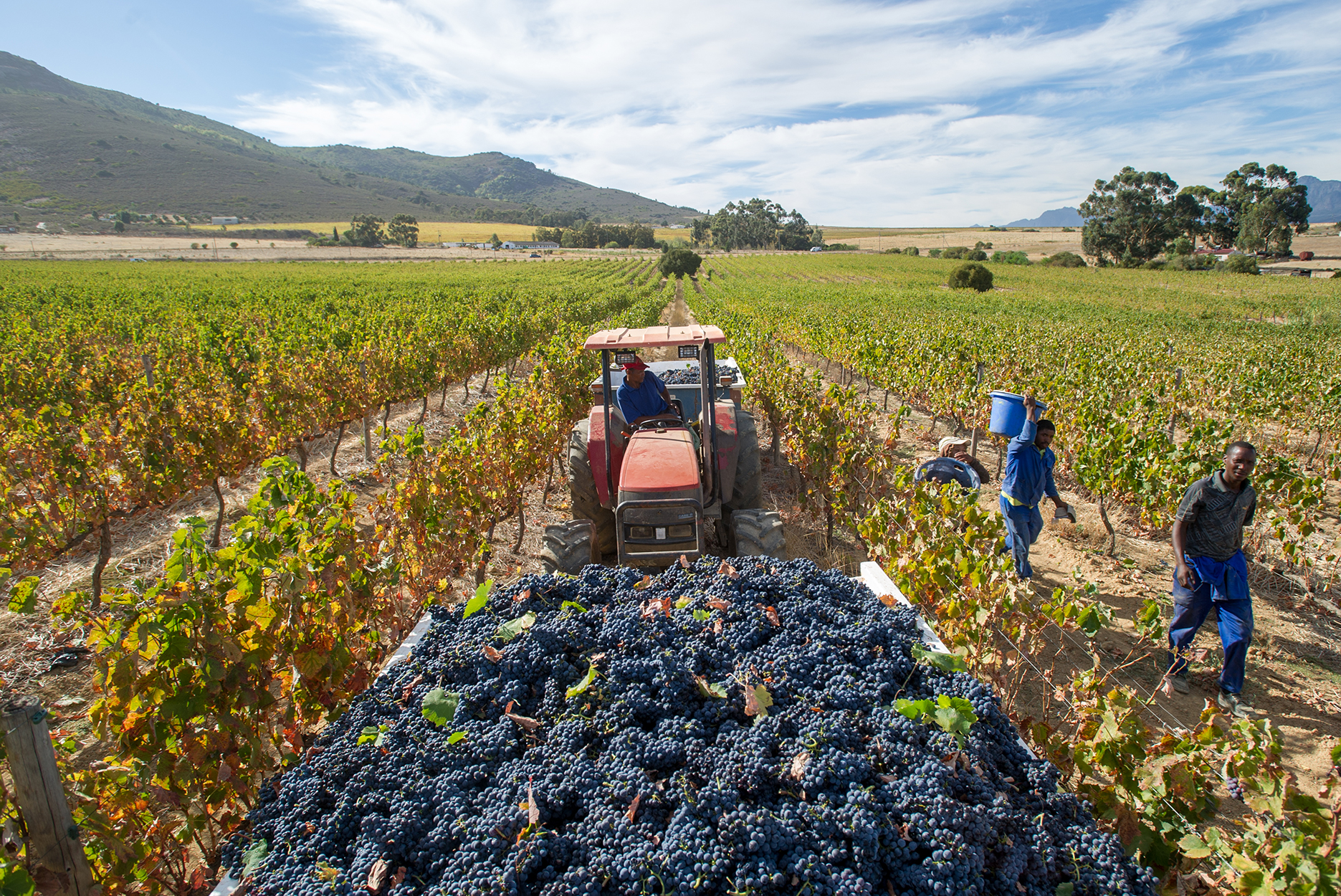 Stellenbosch, South Africa - , Wine Grape harvest