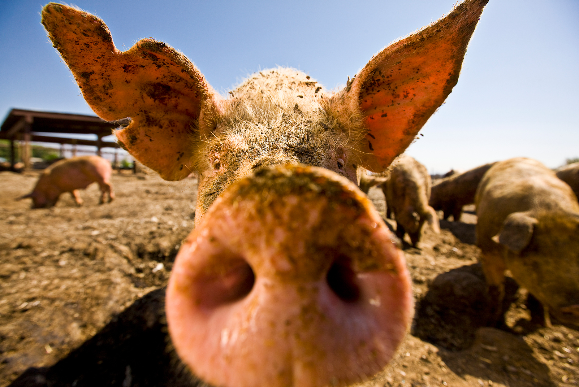 Close-up, wide angle view of a pig's snout & ear.