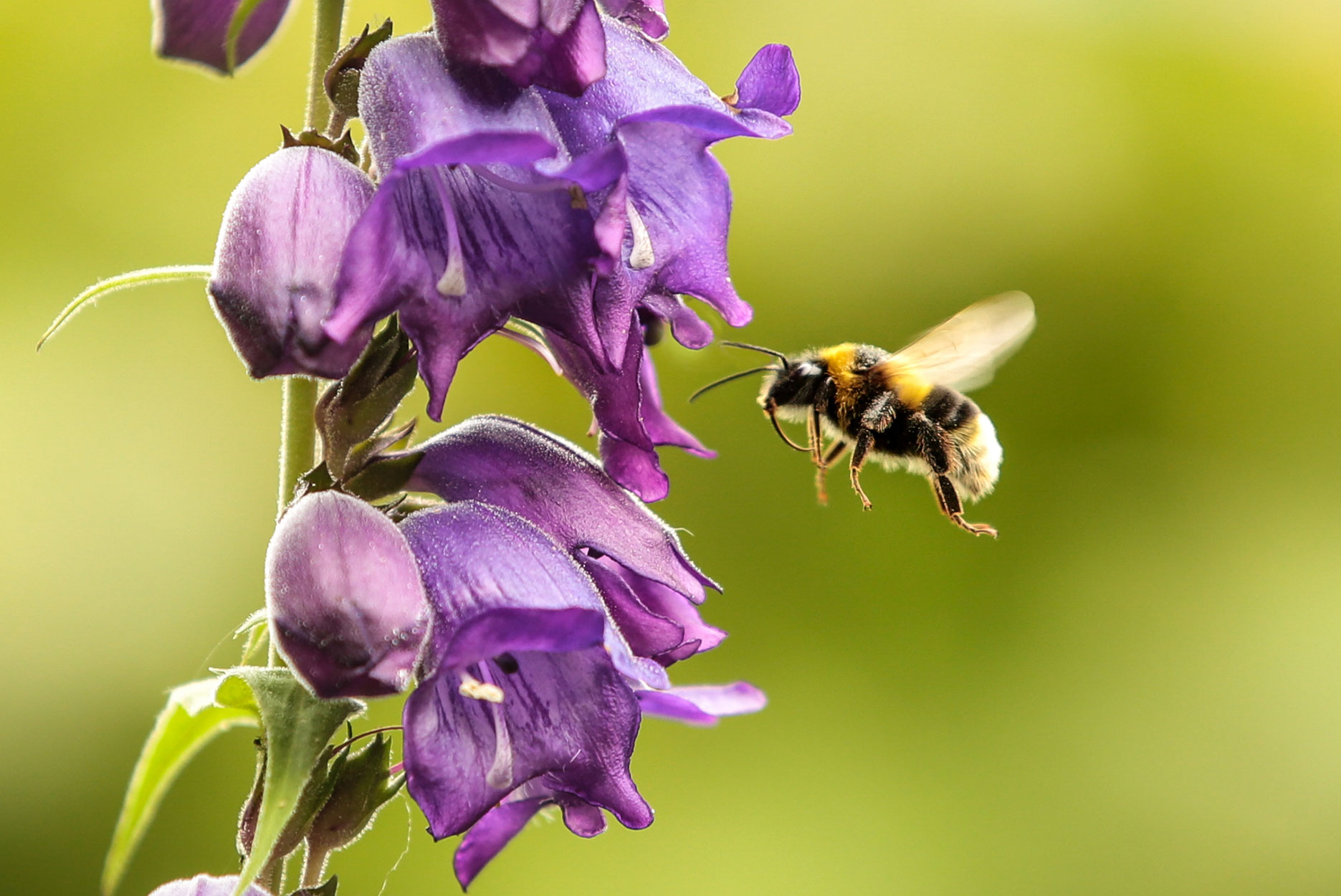 A bumblebee prepares to pollenate a flower