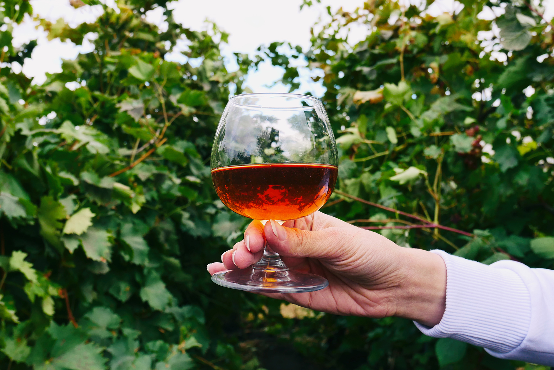 Cognac in a glass on the background of a grape garden outdoor.