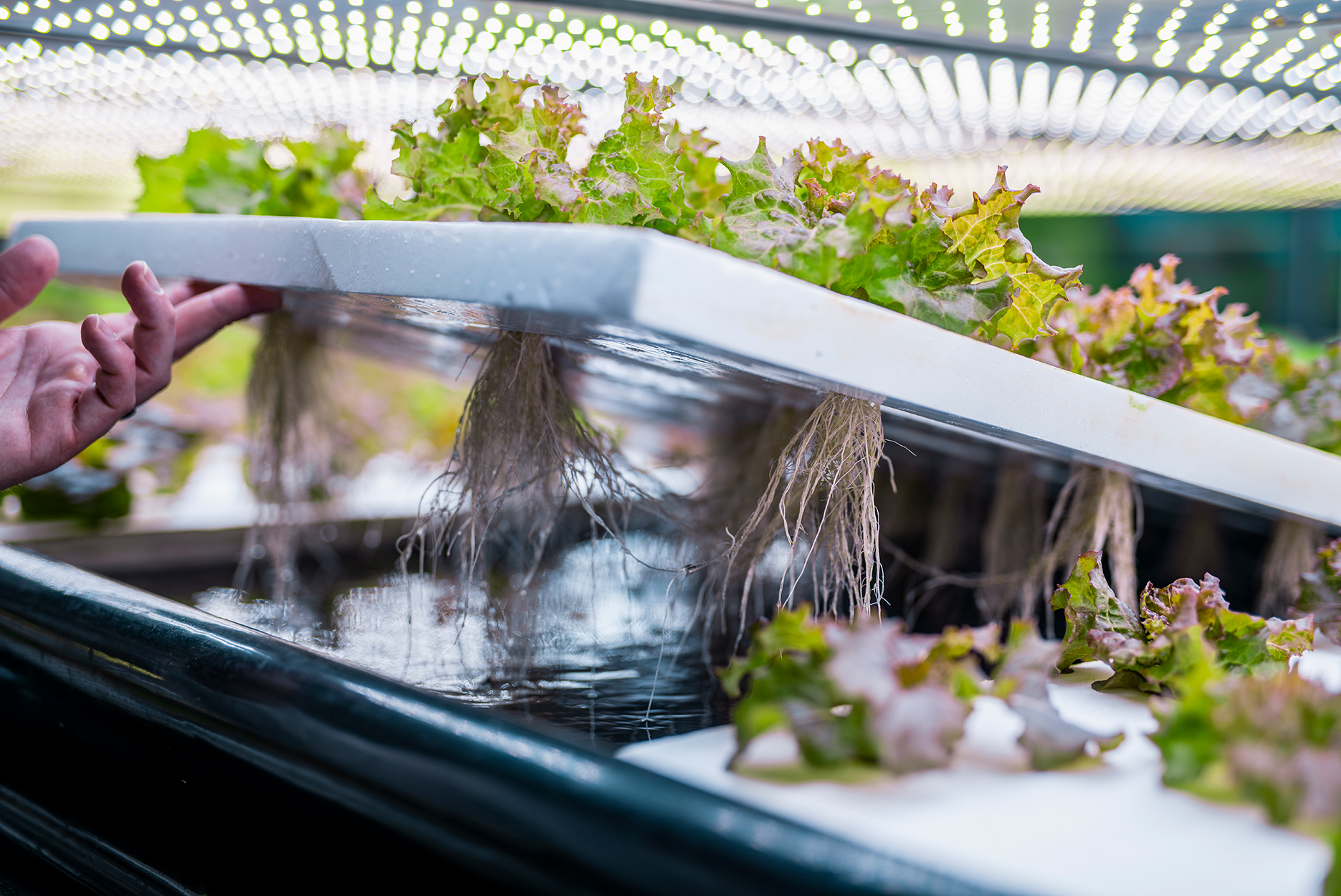 Indoor farming specialist lifting a rack of lettuce to reveal the hydroponic system and root structure.