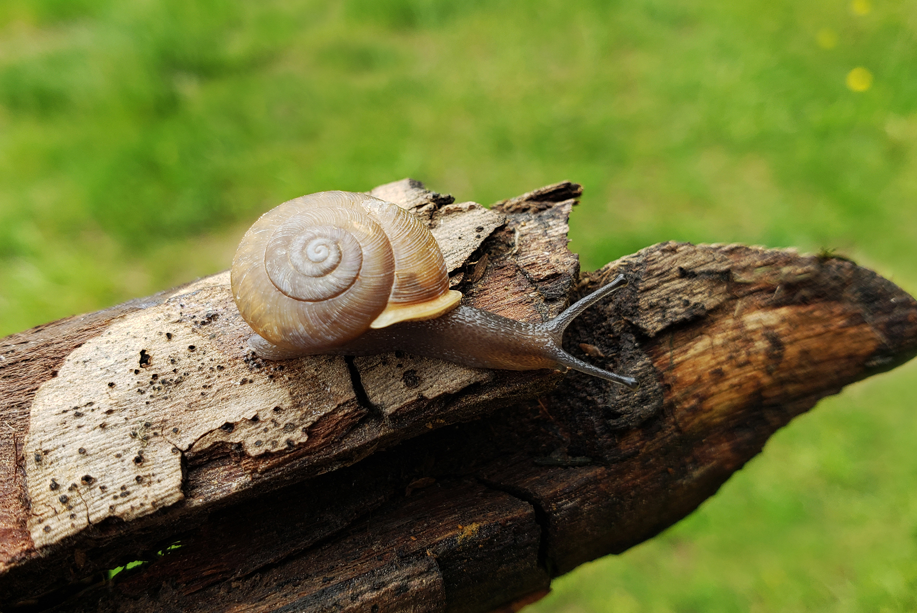 Micro-photograph of old forest log with a close view of a snail stretching his neck to look down. Bright green grasses blurred in the background.