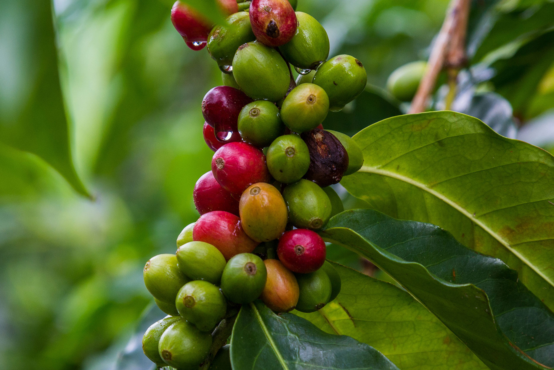 Coffee trees are perennial dicotyledon that belongs to the