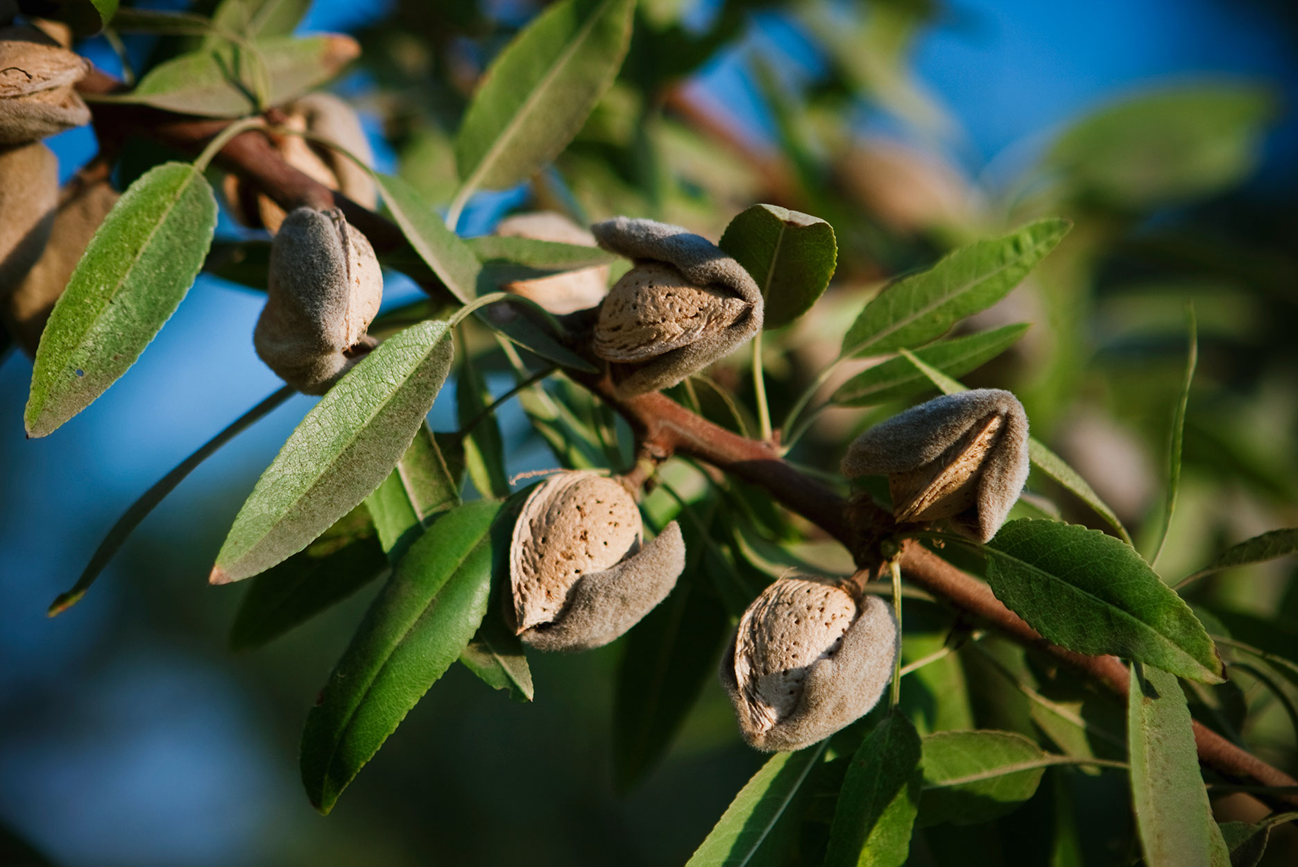 Agriculture - Close-up of mature almonds on the tree with hulls cracked open and ready for harvest in late afternoon sunlight / near Dinuba, California, USA.