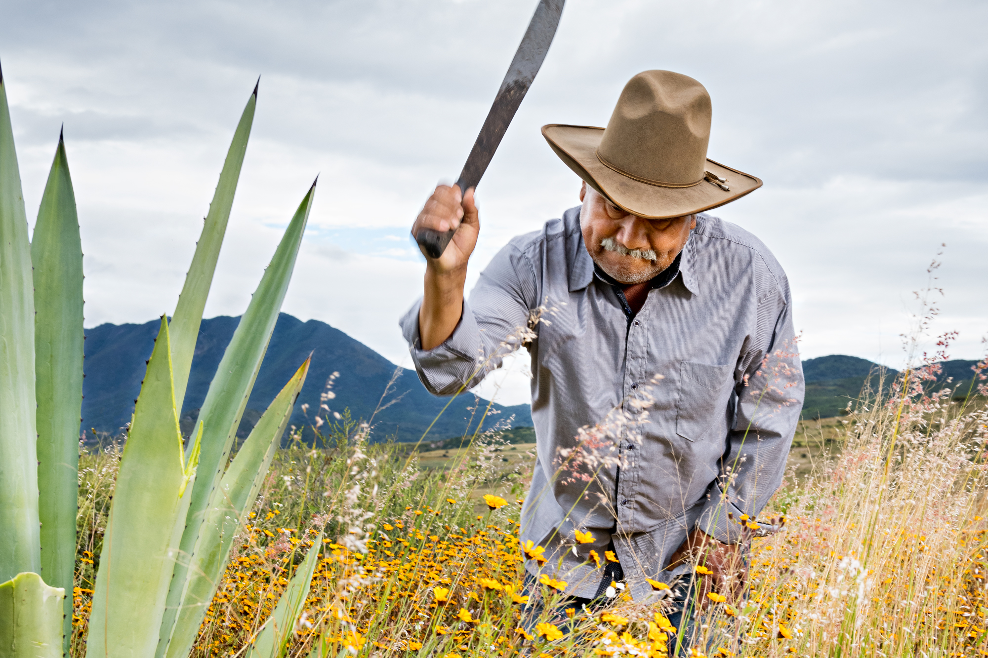 An agave plant is shorn of its sword-like leaves by machete, as mezcalero Arturo Martinez Lopez demonstrates.