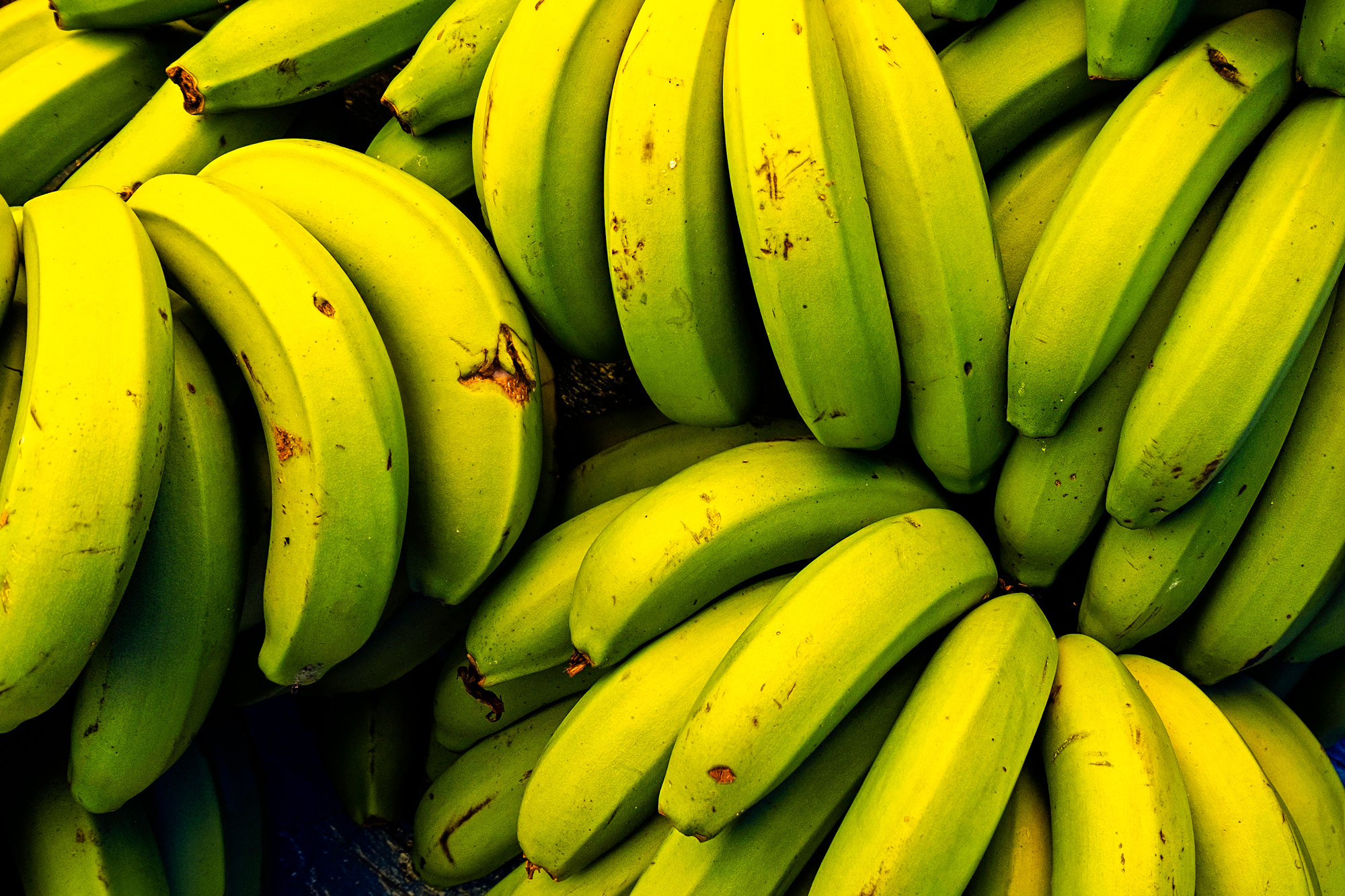 Bunches of unripe bananas