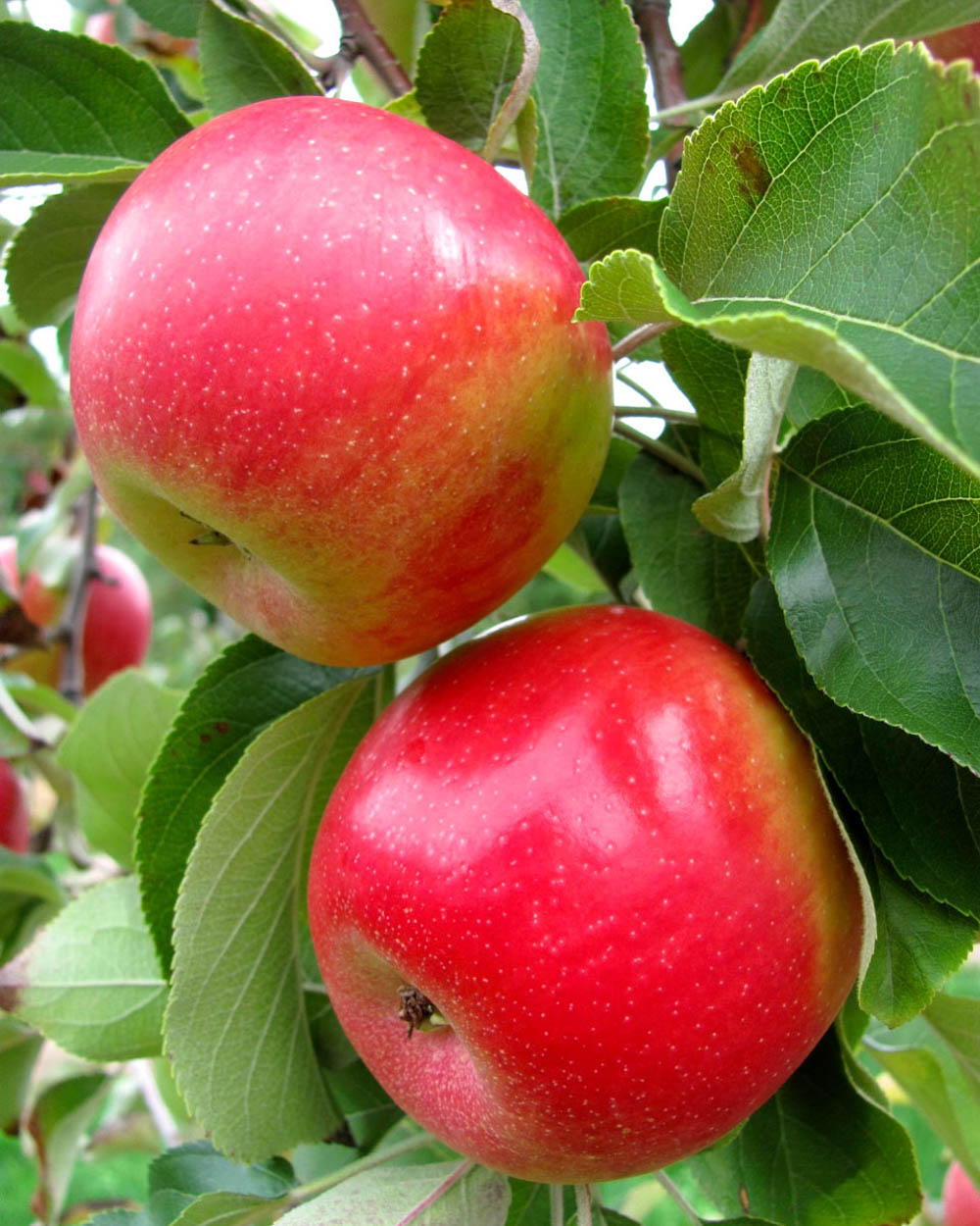 Cordera apples
