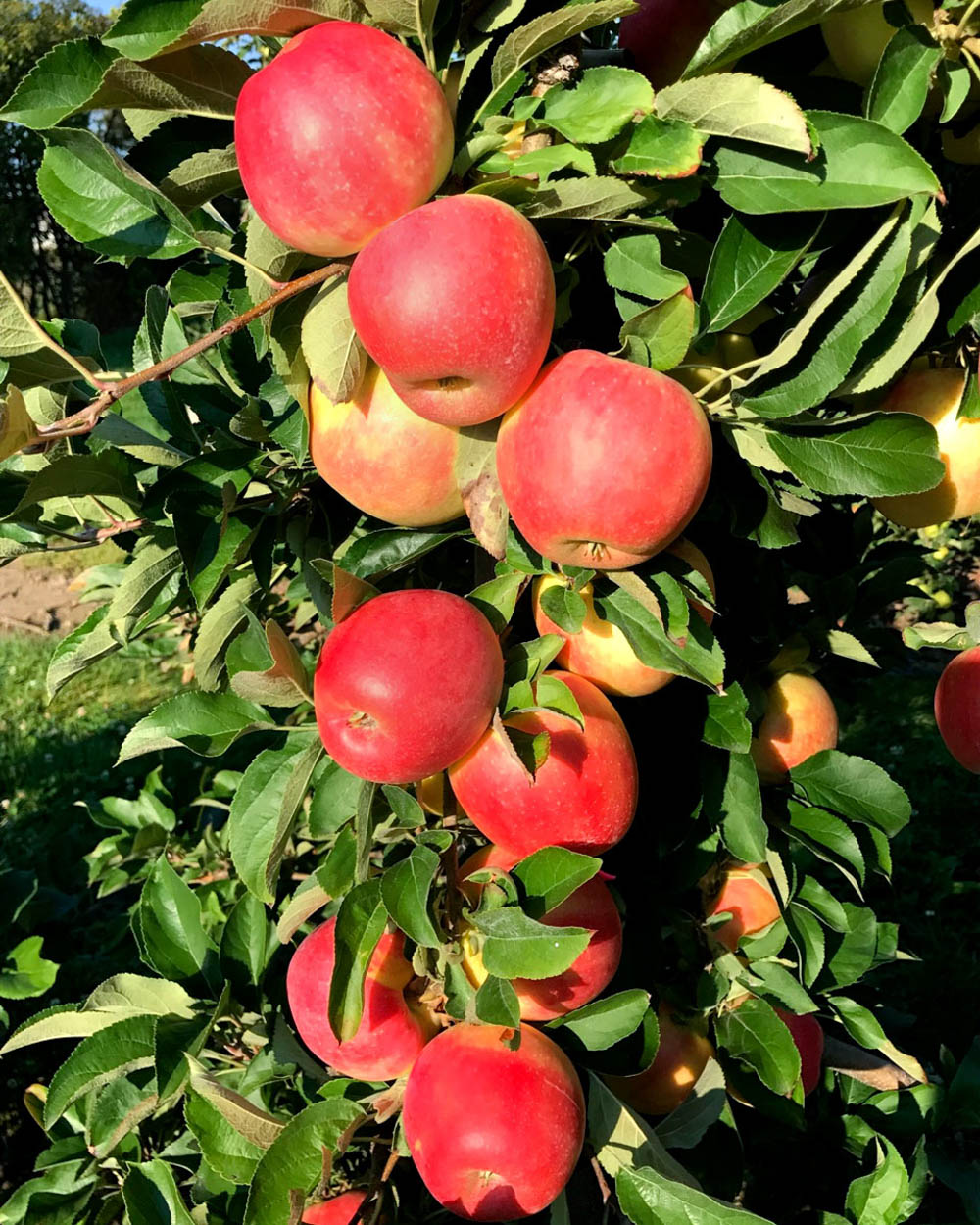 Pink Luster apples
