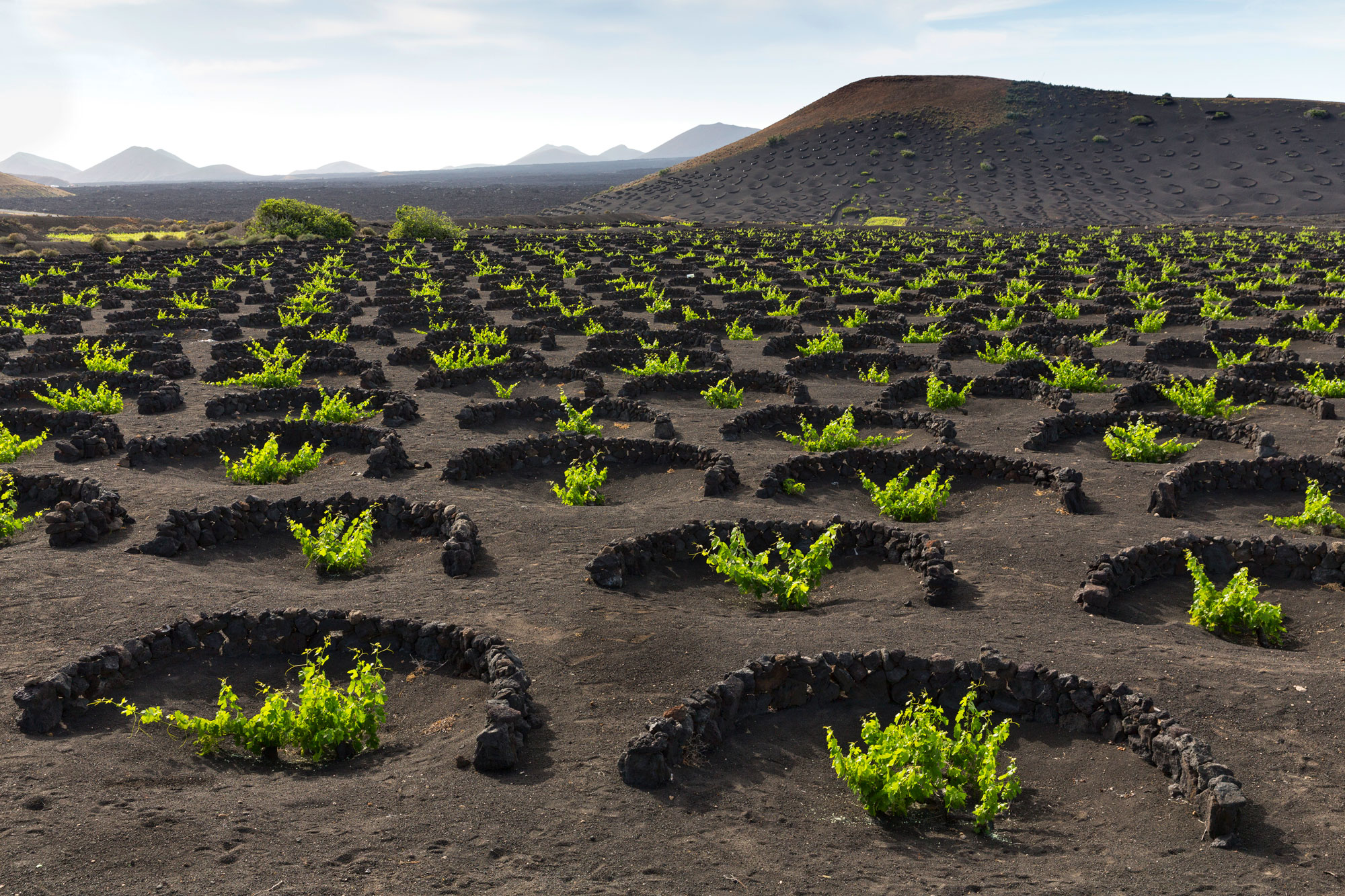 The unique vineyards of Lanzarote are planted in layers of nutrient-rich volcanic soil and protected from fierce winds blowing off the Atlantic by low rock walls .