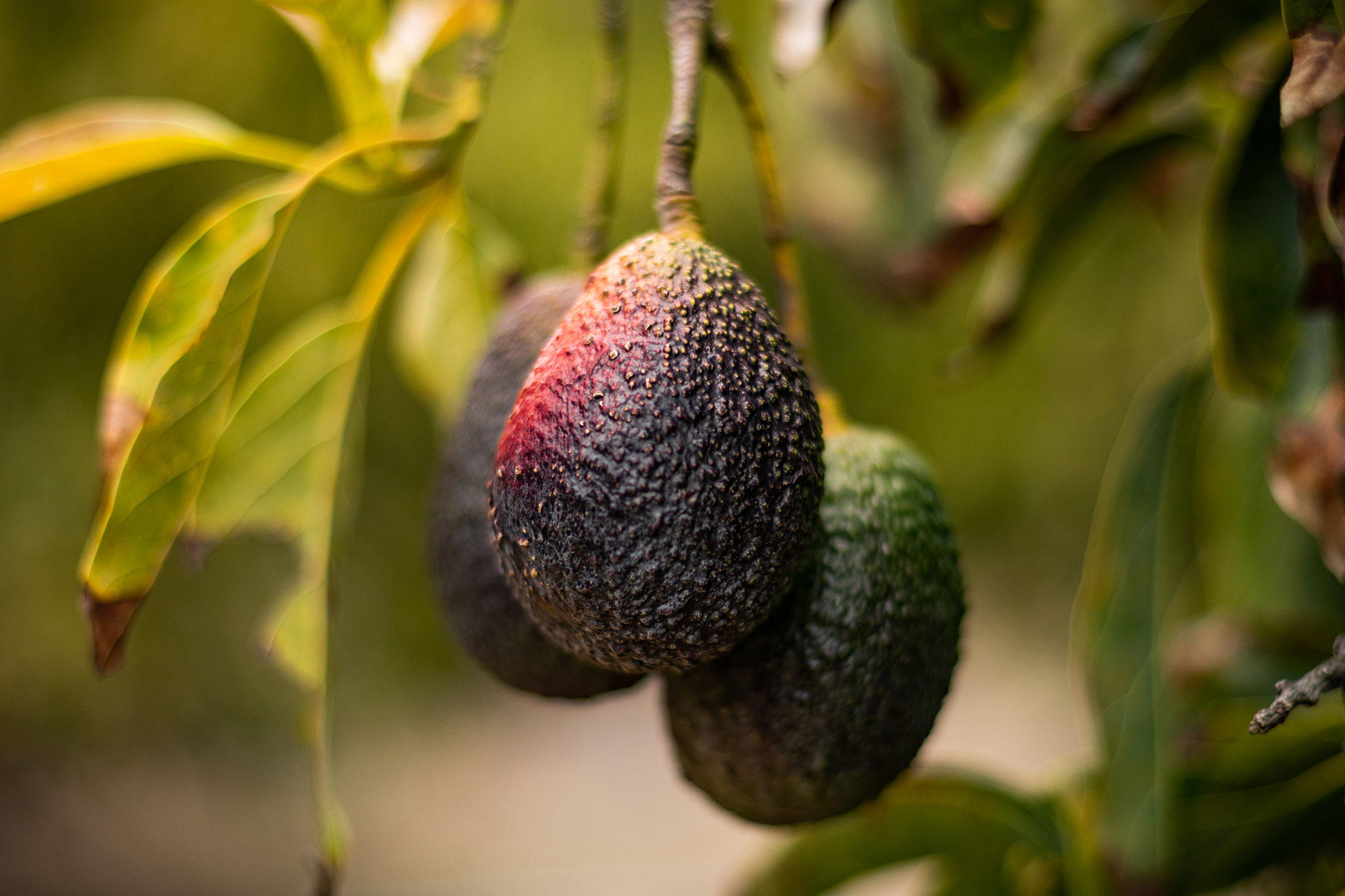 2020 California Avocado Season I