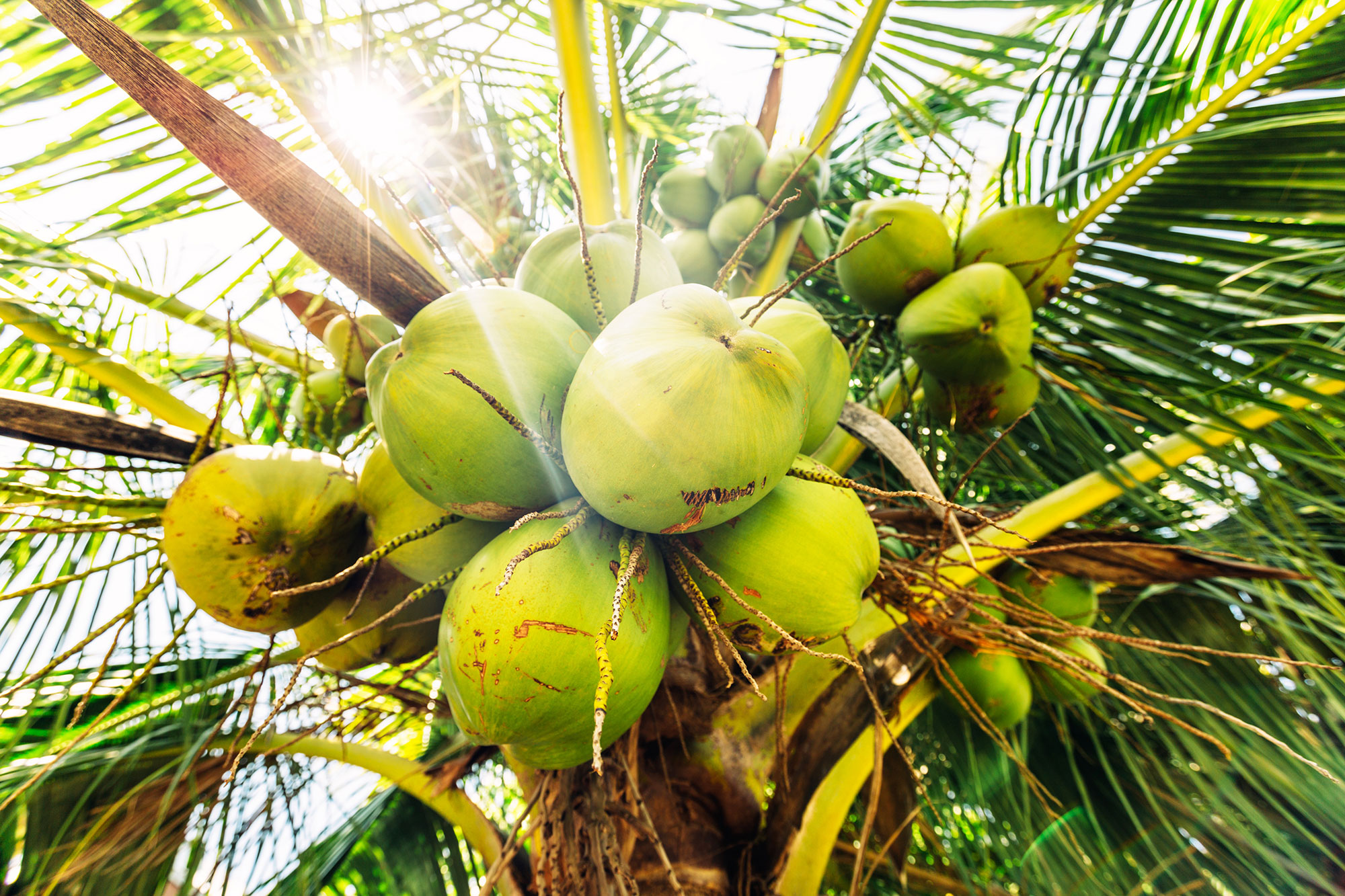 Fresh coconuts hanging on a palm tree