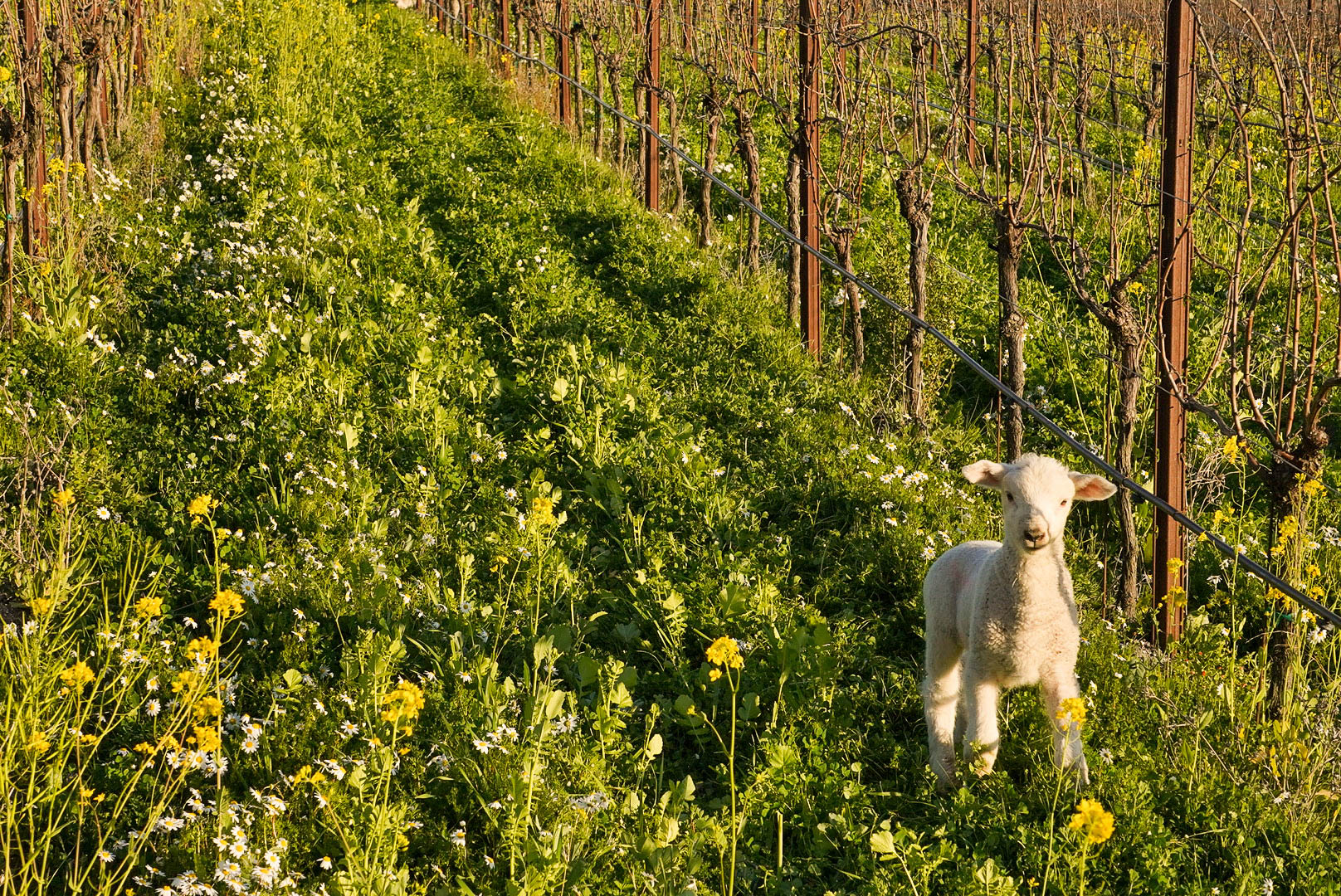 Sheep in vineyard