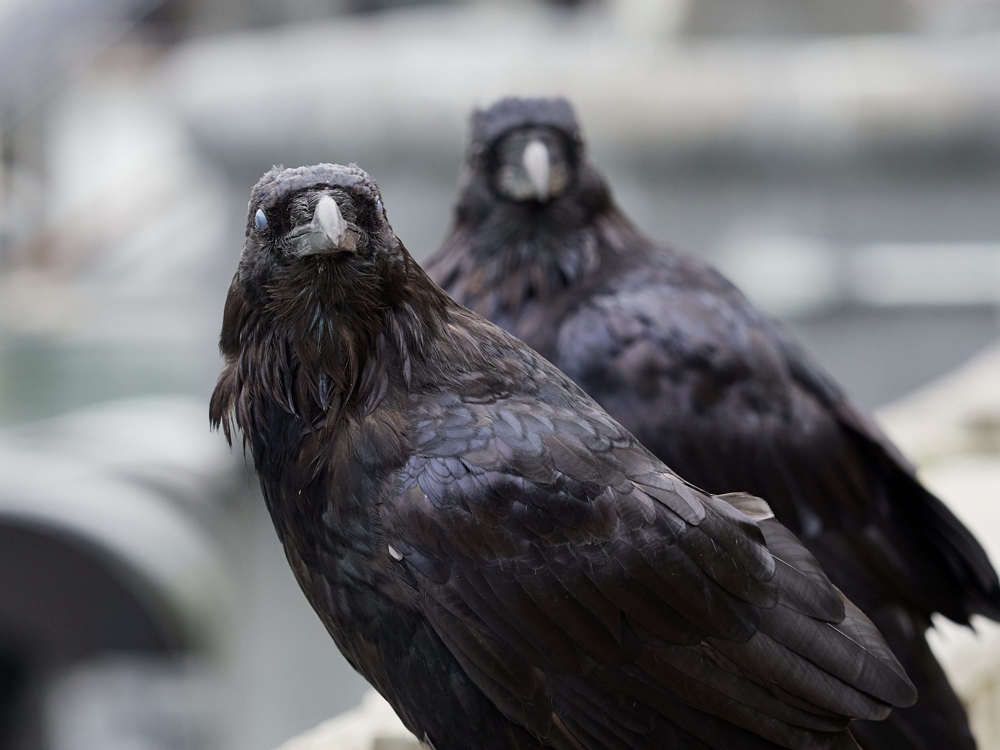 Close-Up Portrait Of Crows Perching