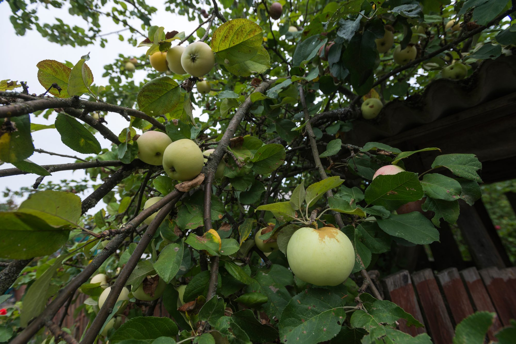 Radioactive apples grow in Chernobyl exclusion zone