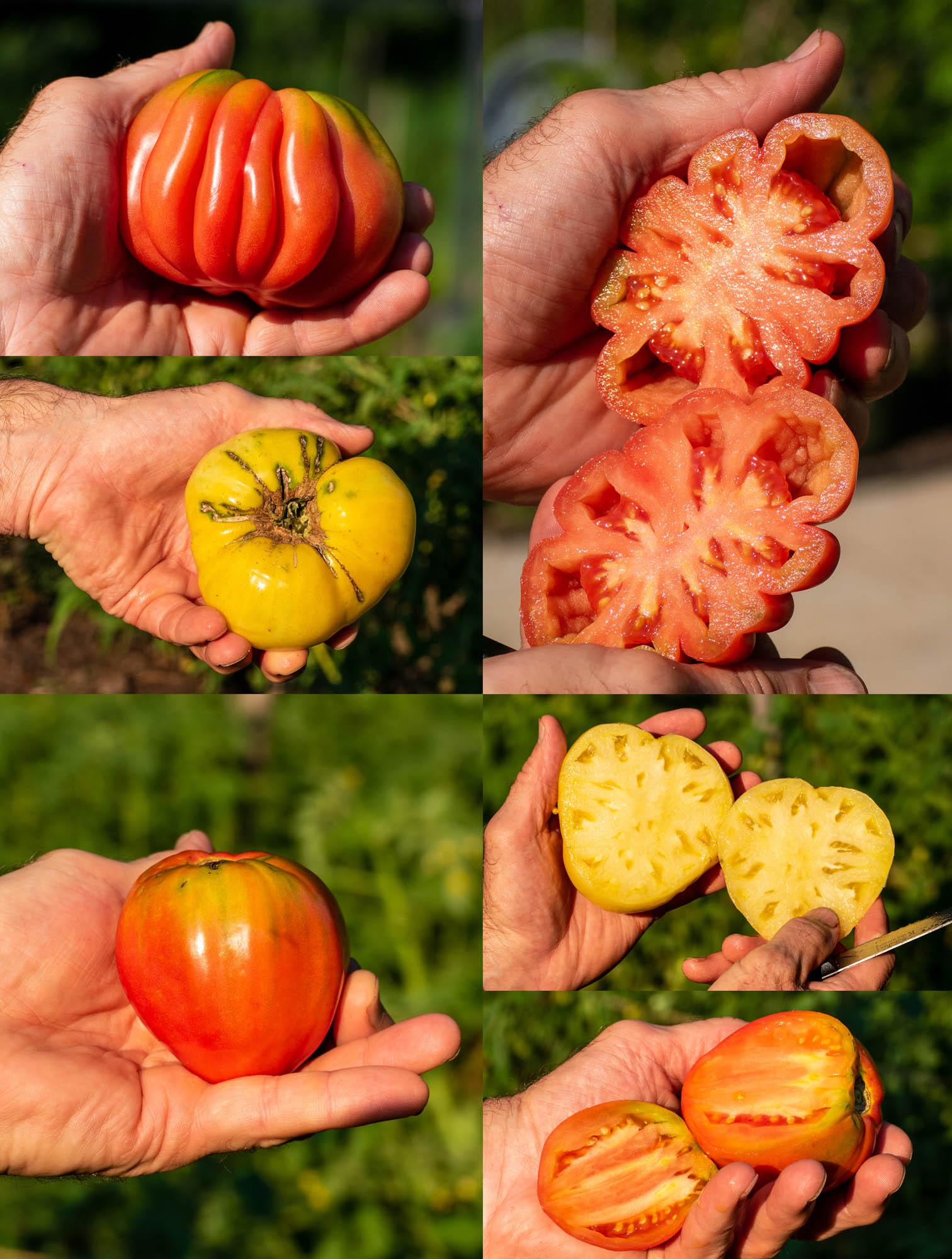Red Gezahnte, White Queen, Russian Oxheart tomatoes