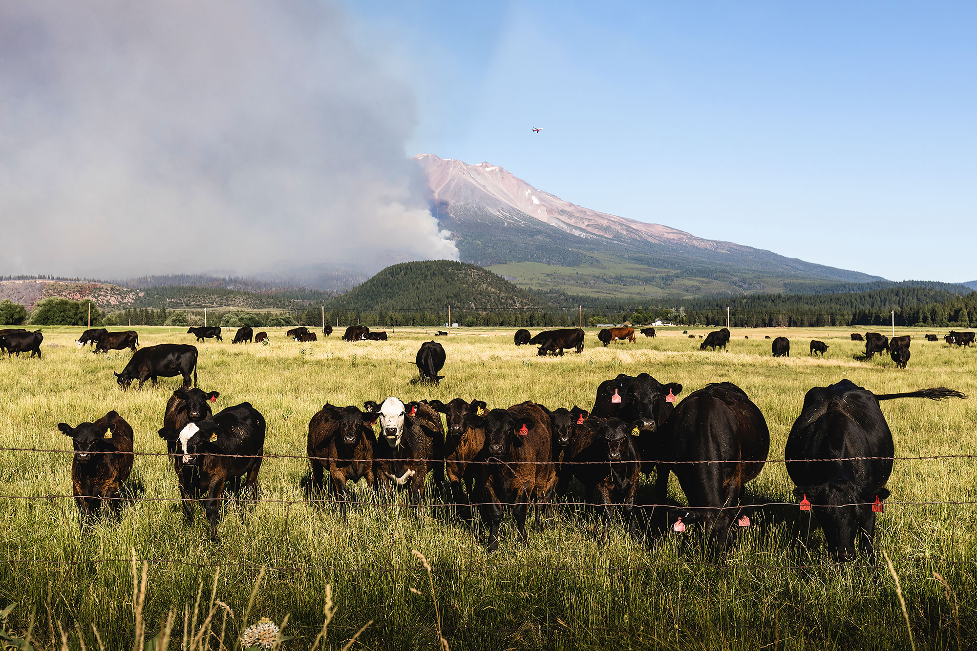 Cows lined up look away from a wildfire