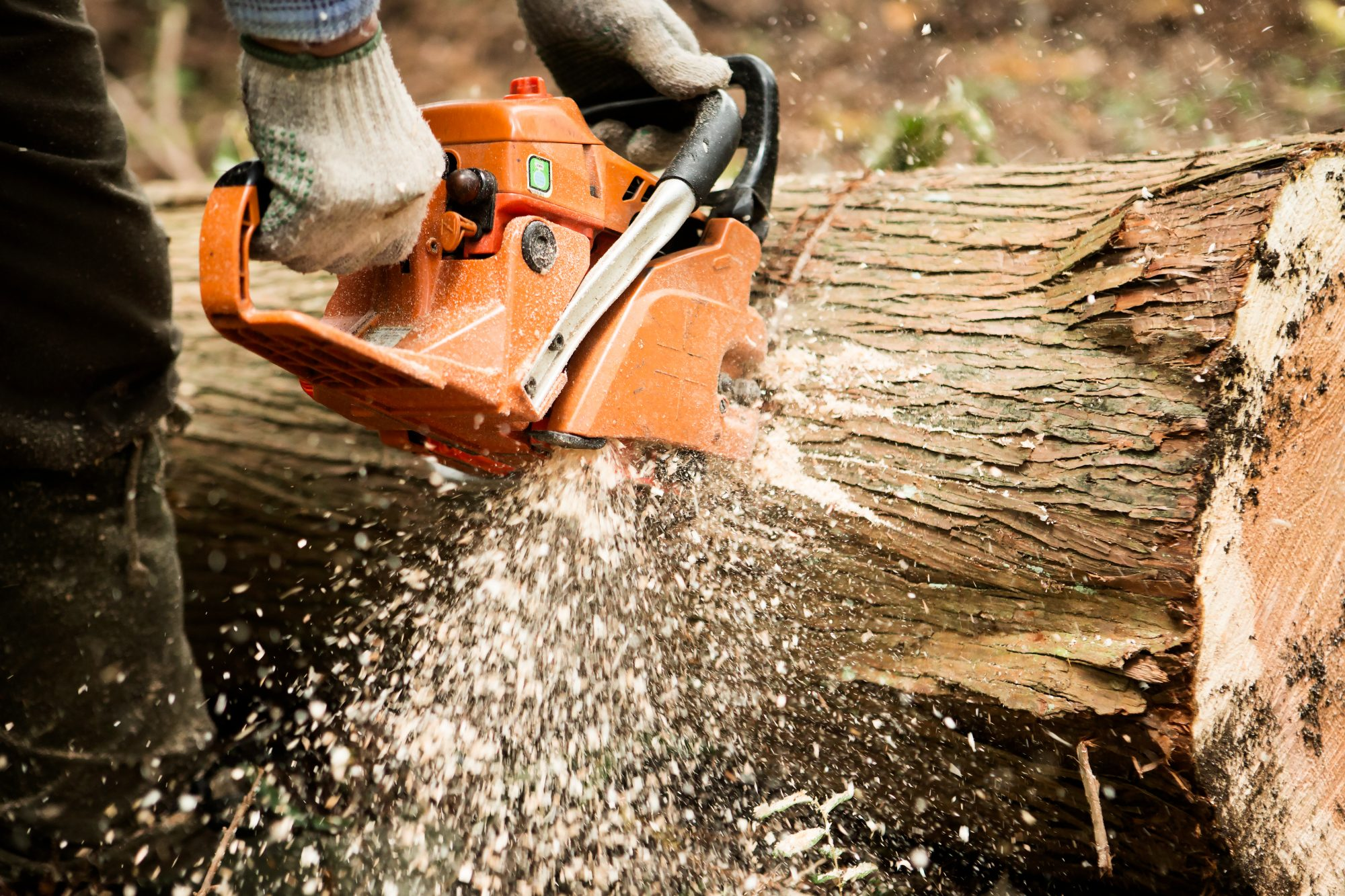 A lumber cutting a tree with a chain saw