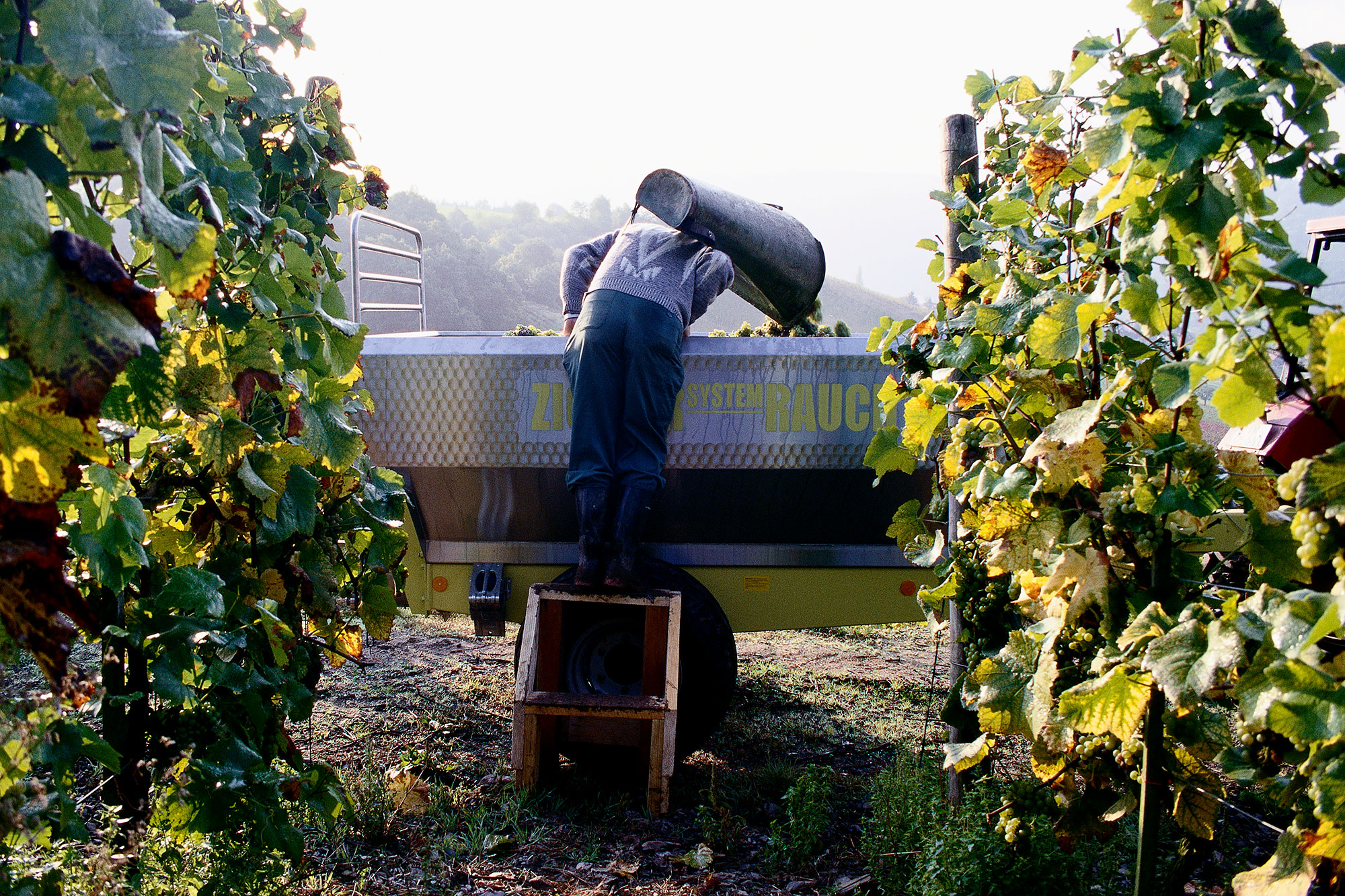 A man harvests grapes for wine near the Moselle river in France