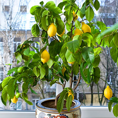 lemon-tree-home