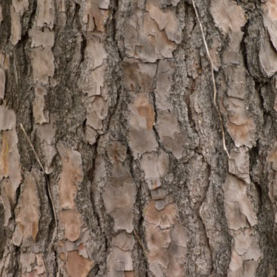 bark-pine-sleep