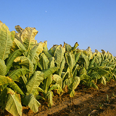 tobacco-farm-crop