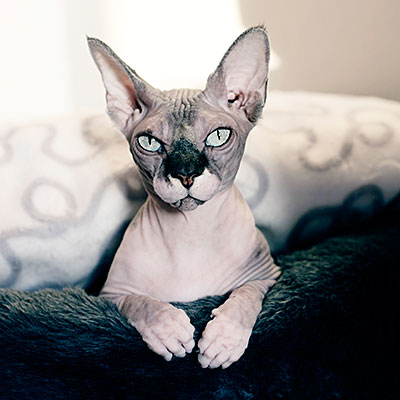 hairless pets sphynx