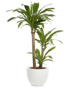 This Tall Floor Plant Is As Close You Can Get To Having A Tree In Your Office Also Known Corn One Will Flower Regularly If The