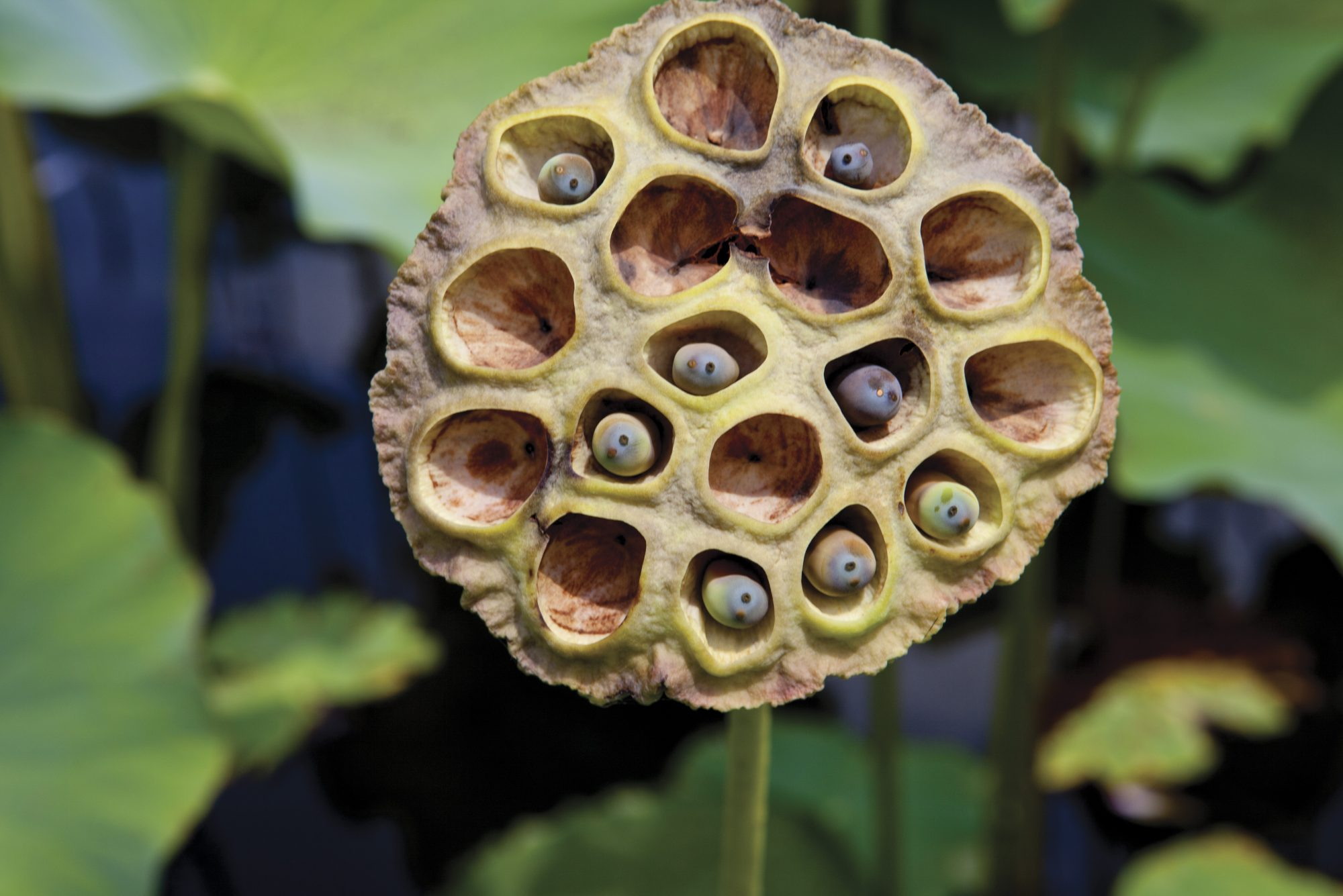 lotus-head-hole-phobia