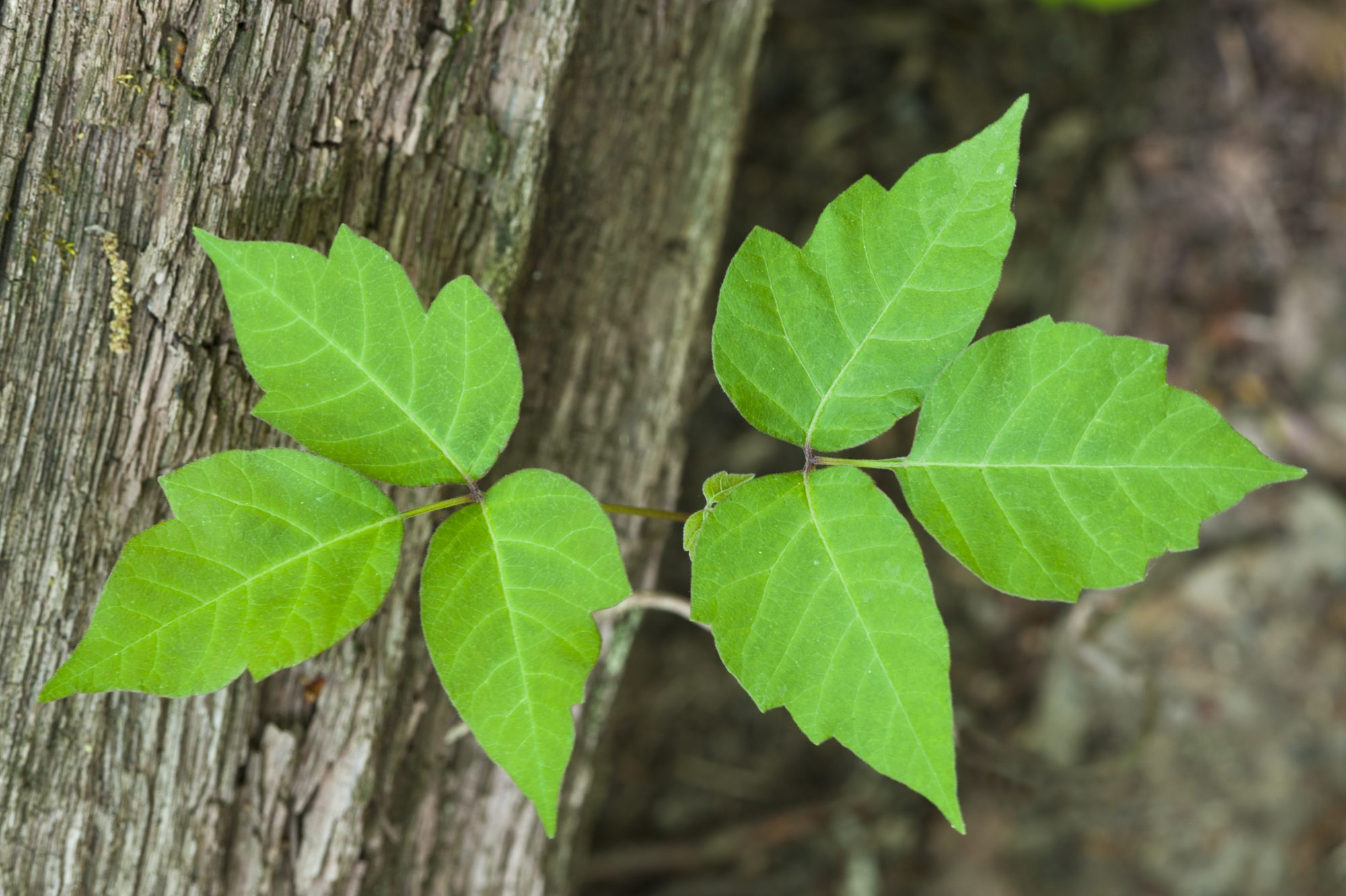 poison-ivy-leaves-woods