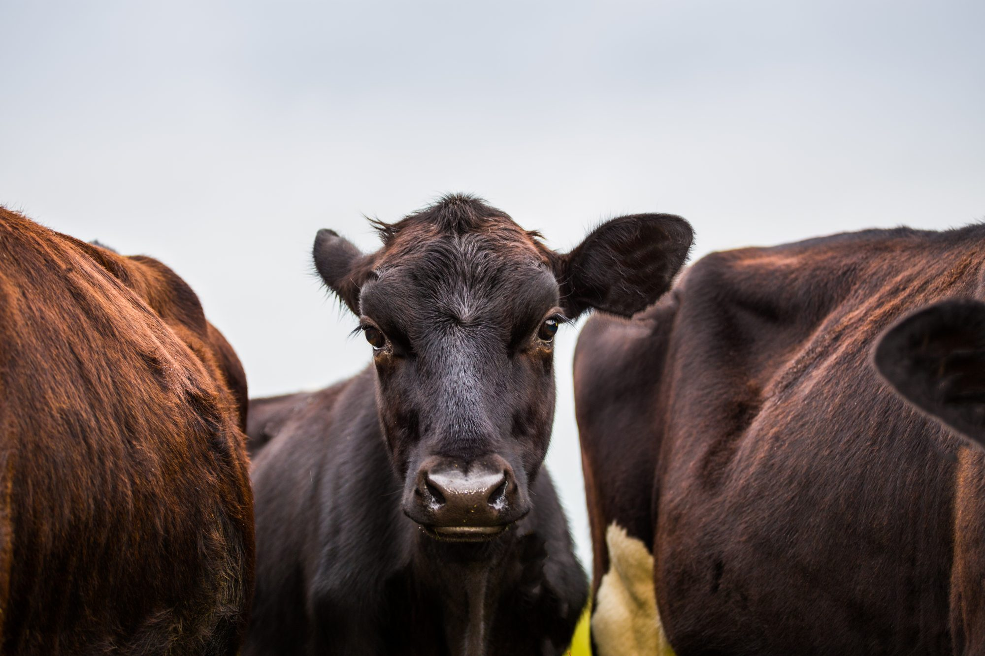 Mad Cow Disease Was Detected in Florida. Here's Why You Shouldn't Panic