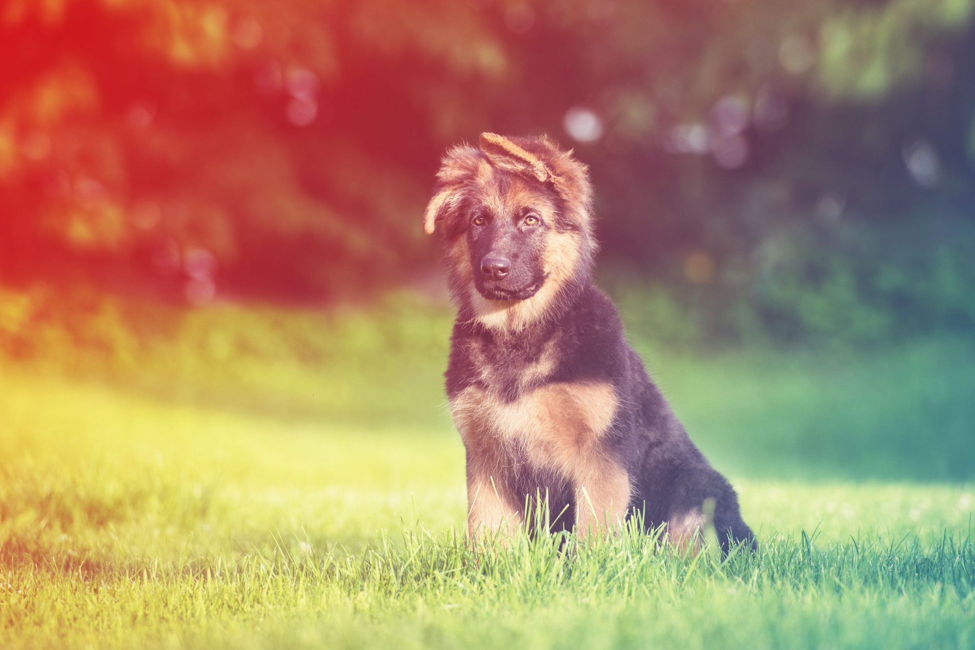 dwarf-german-shepherd