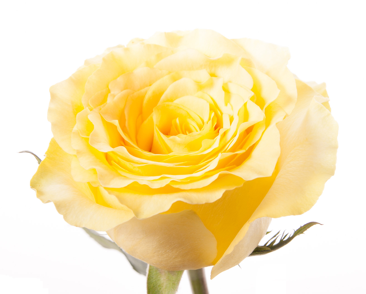 Rose color meanings what color rose to give everyone in your life pyellow joy and friendshipp mightylinksfo