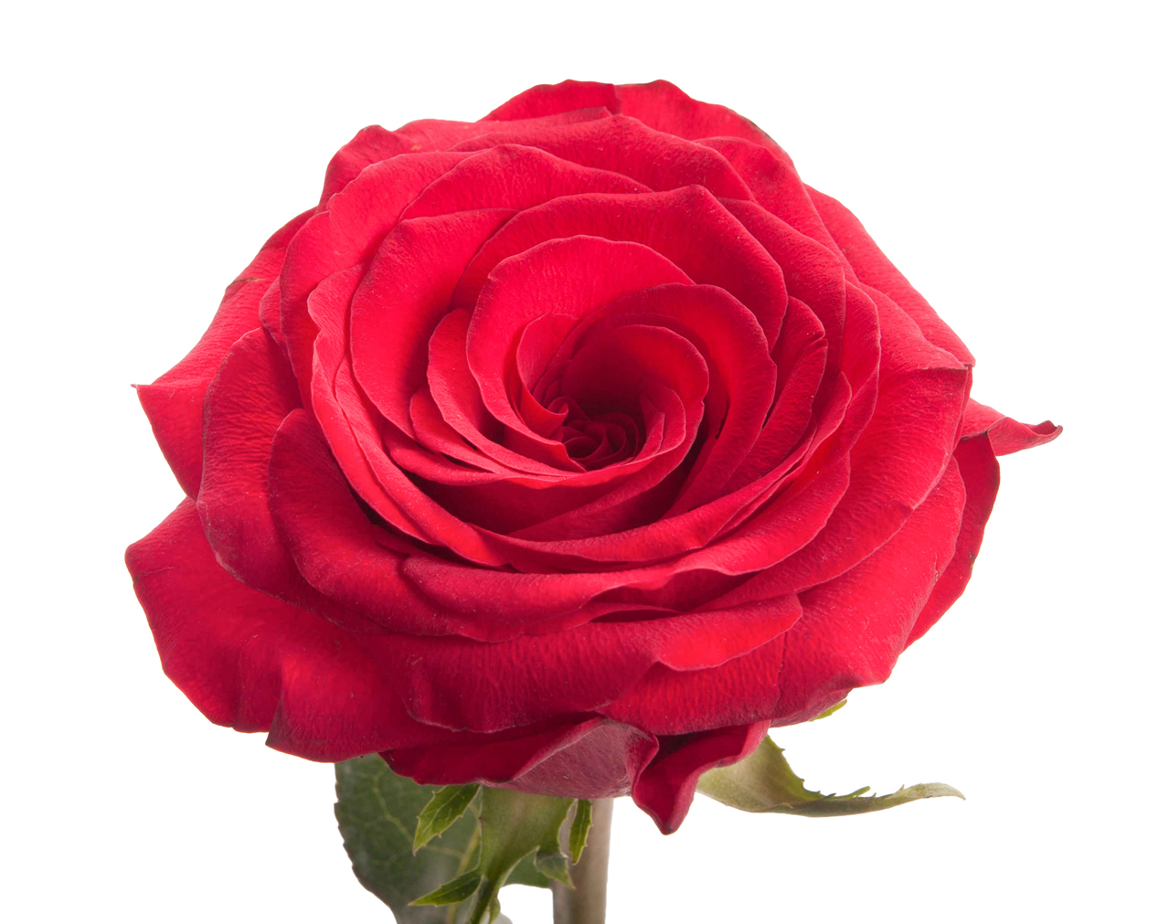 Rose Color Meanings — What Color Rose to Give Everyone in Your Life ...