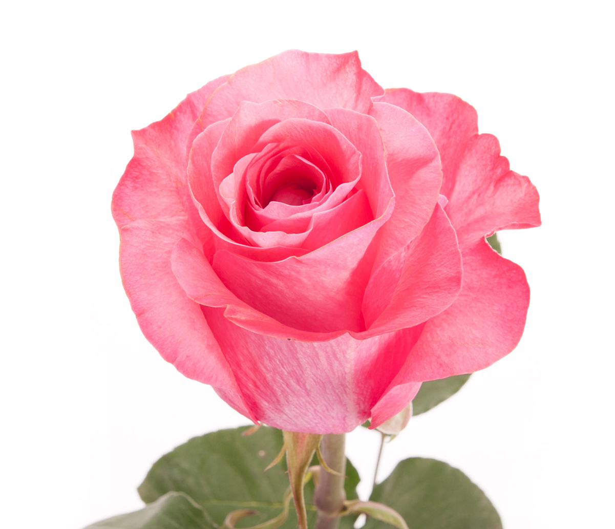 Rose color meanings what color rose to give everyone in your life ppink elegance and mightylinksfo Choice Image