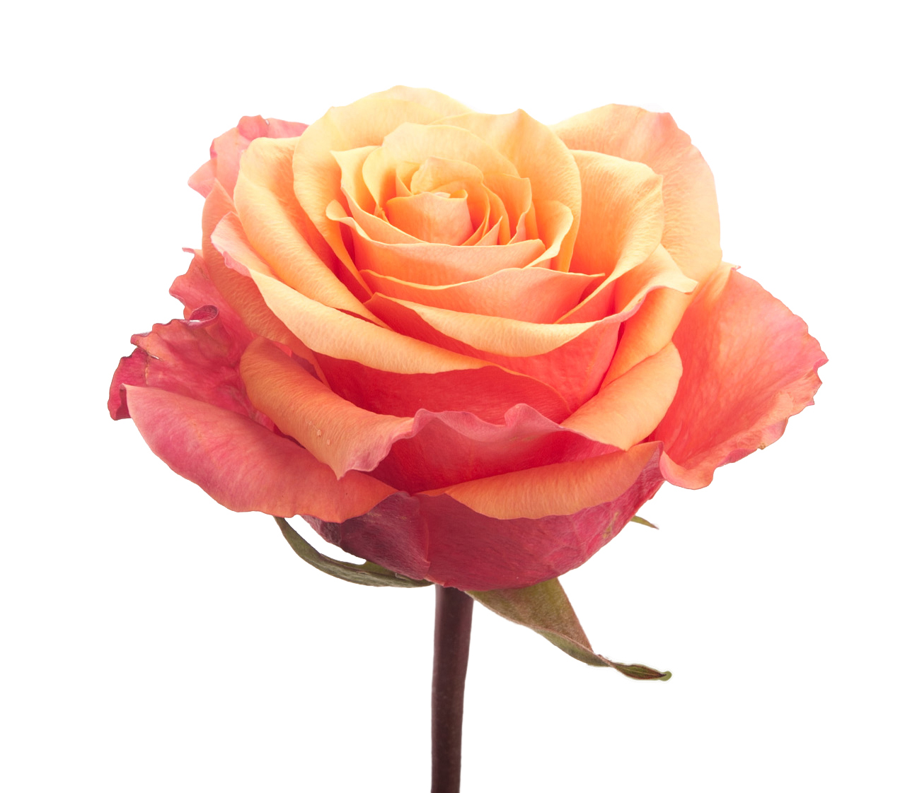 Rose color meanings what color rose to give everyone in your life porange desire and mightylinksfo Images