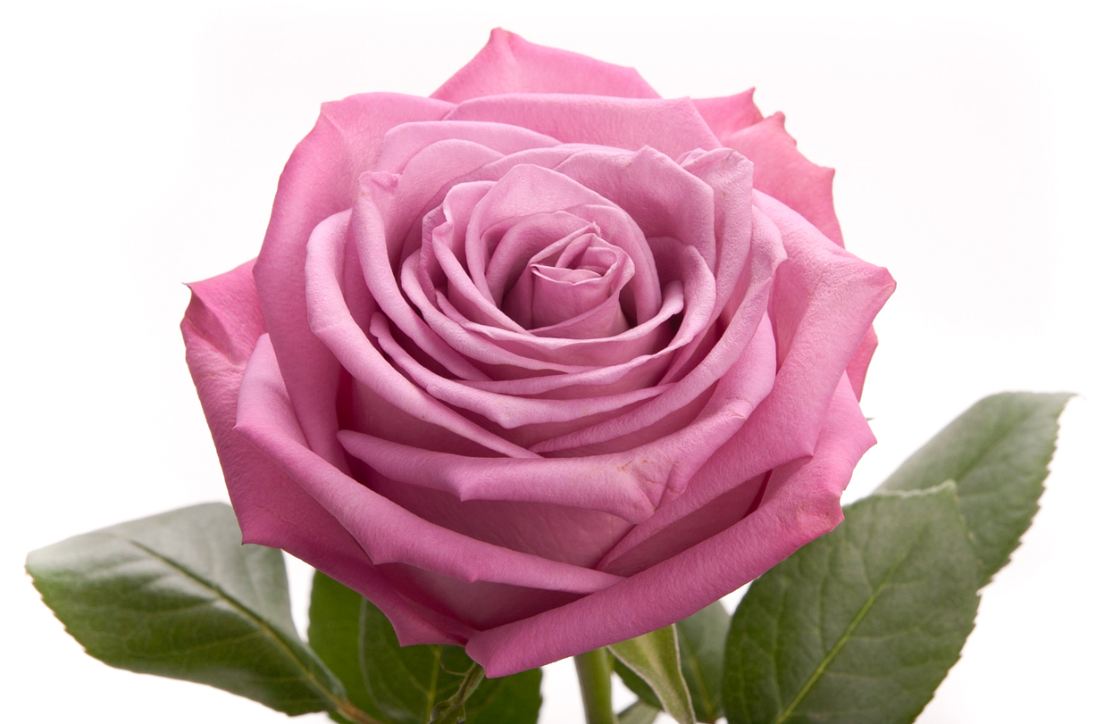 Rose Color Meanings What Color Rose To Give Everyone In Your Life