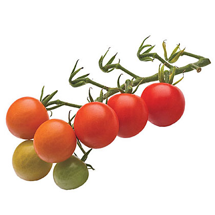 The name says it all―one of the sweetest and most prolific tomatoes to grow; a vigorous vine.