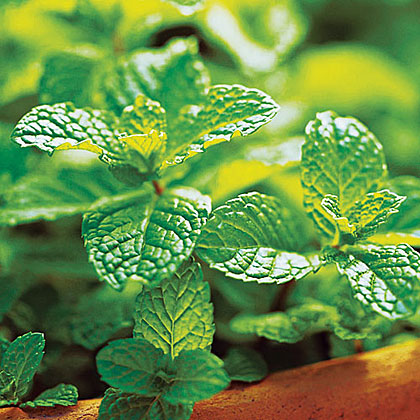If you have room to grow only one kind, go with spearmint (Mentha spicata); more recipes call for this mint than any other type. Zones A2, A3, 1–24.More: Growing spearmint