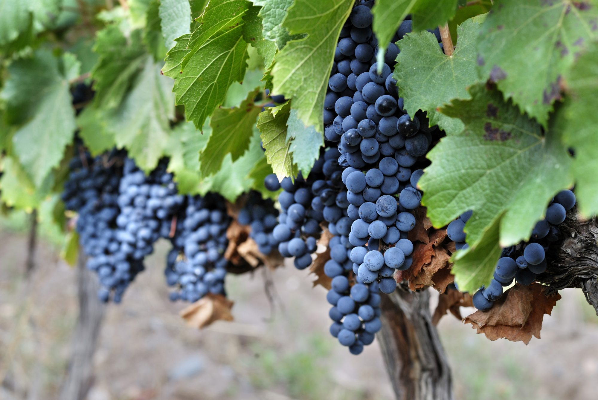 Malbec Grapes/Getty Images